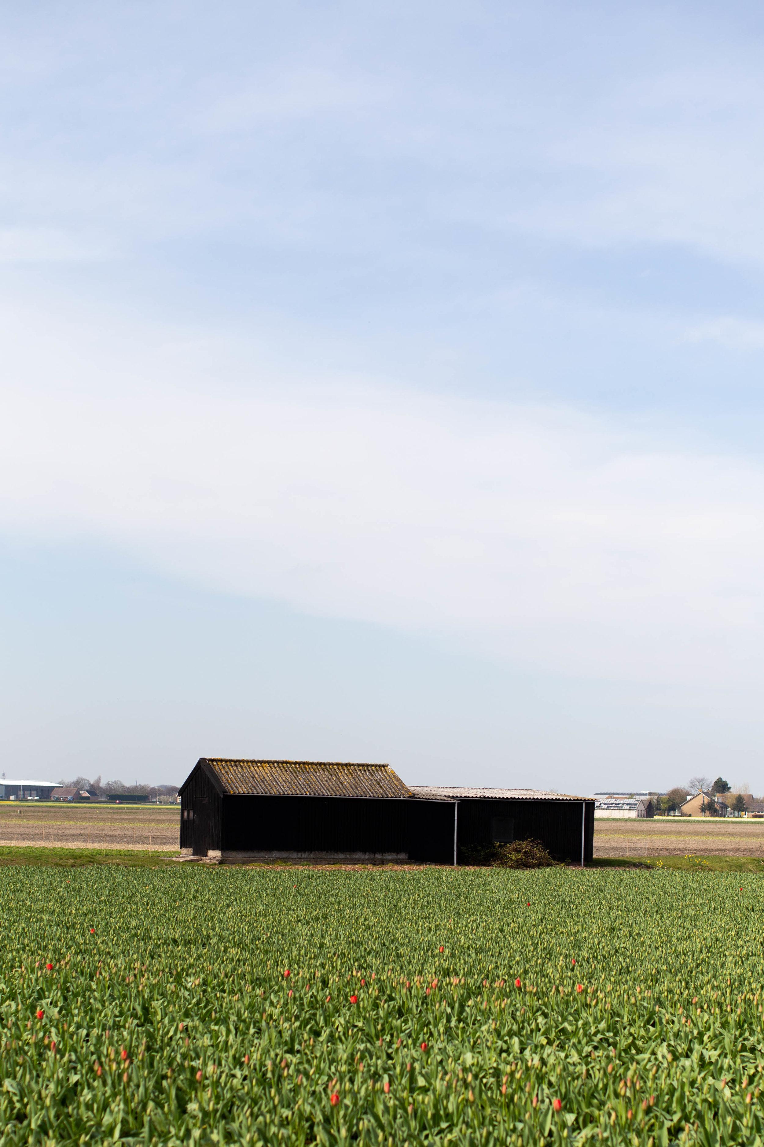 lisse-tulip-field