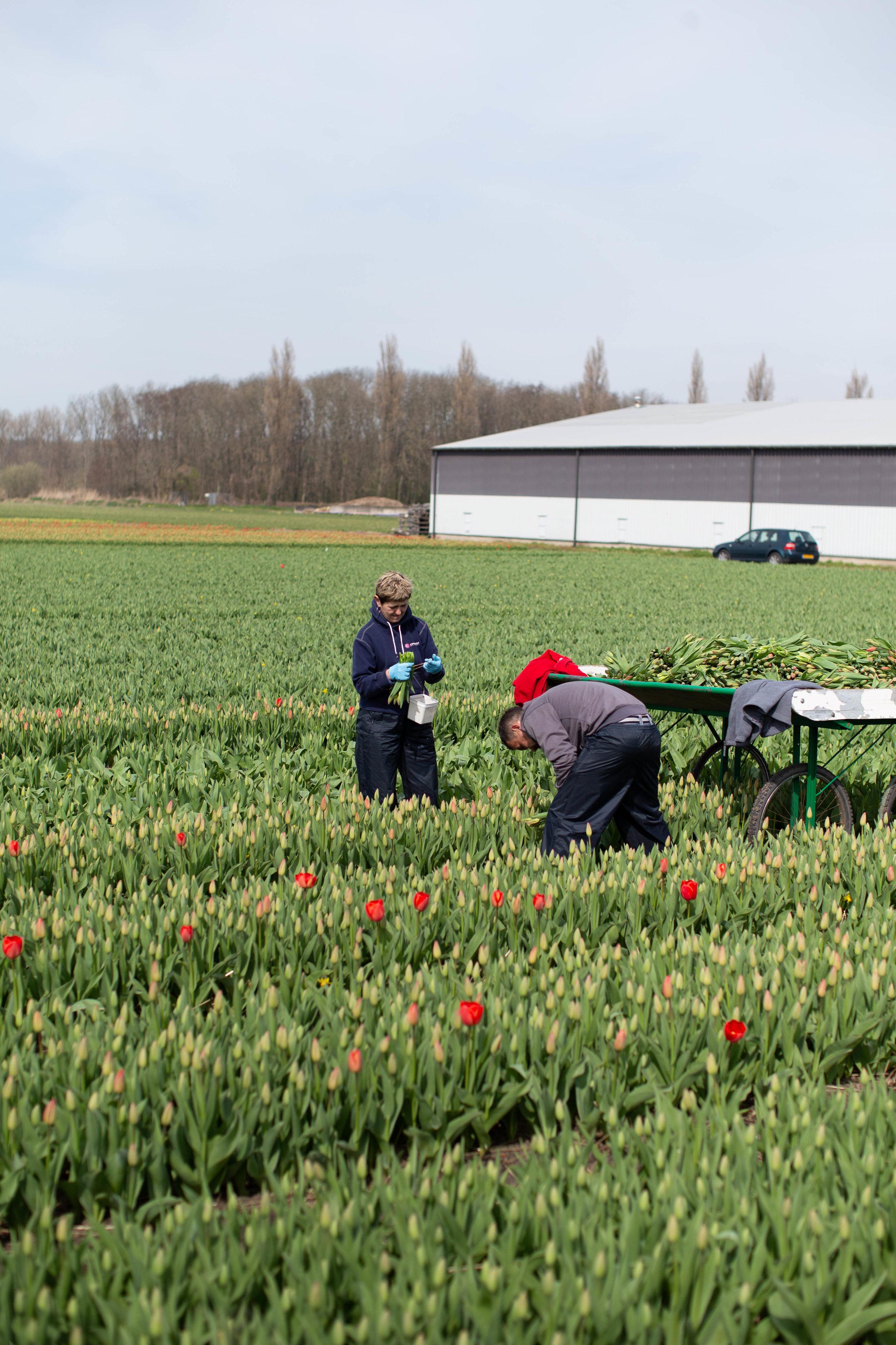 dutch-flower-picking-farmers