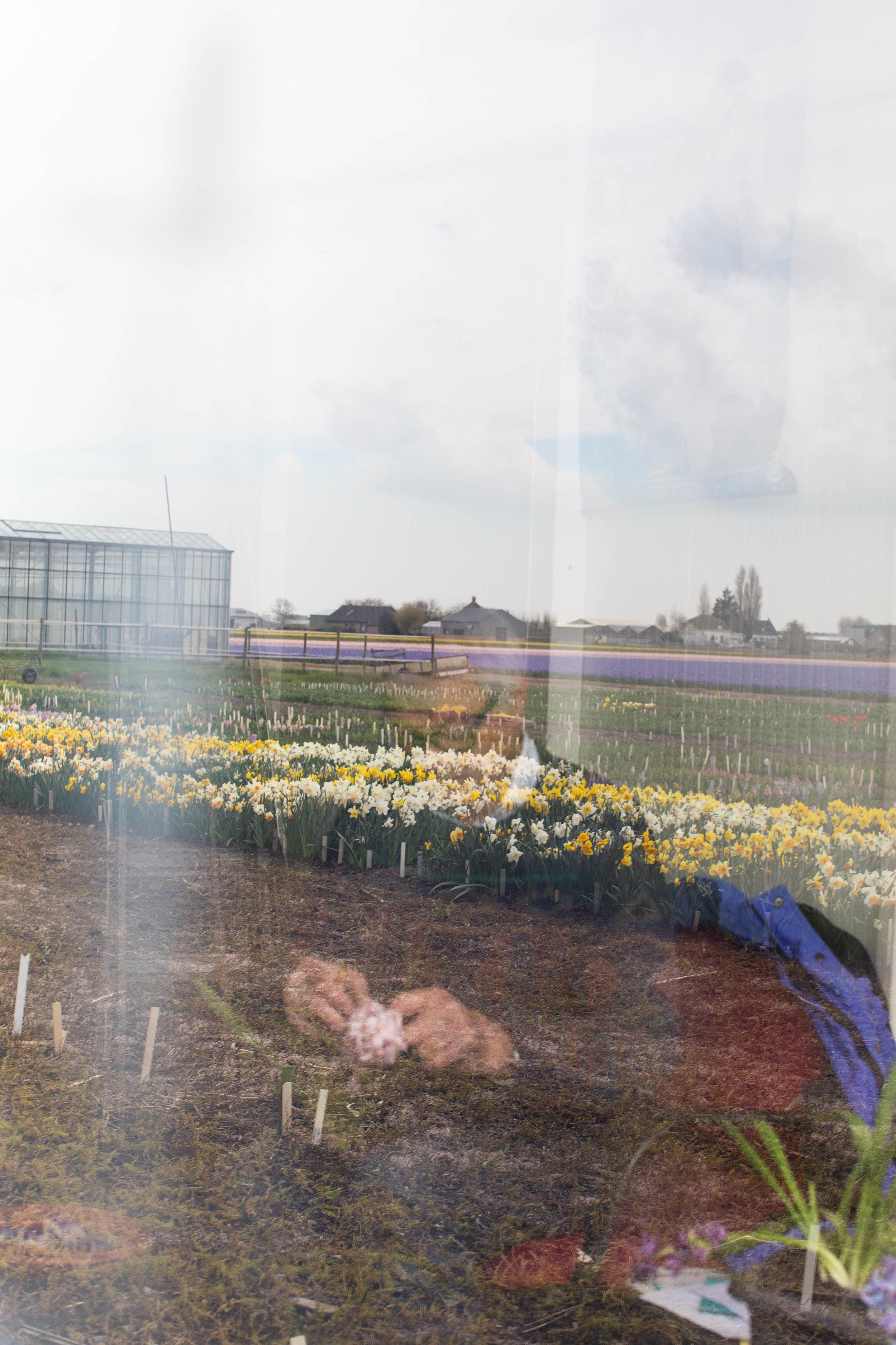 dutch-flower-field-lisse