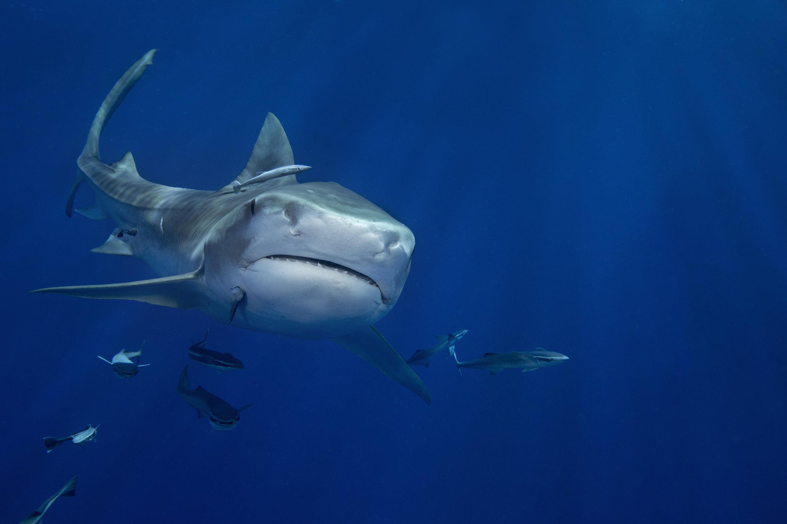 Tiger Shark, West Palm Beach, FL