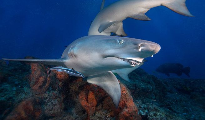 Lemon Shark, snooty with an over bite, on a boat dive in West Palm Beach.  John Michael Bullock