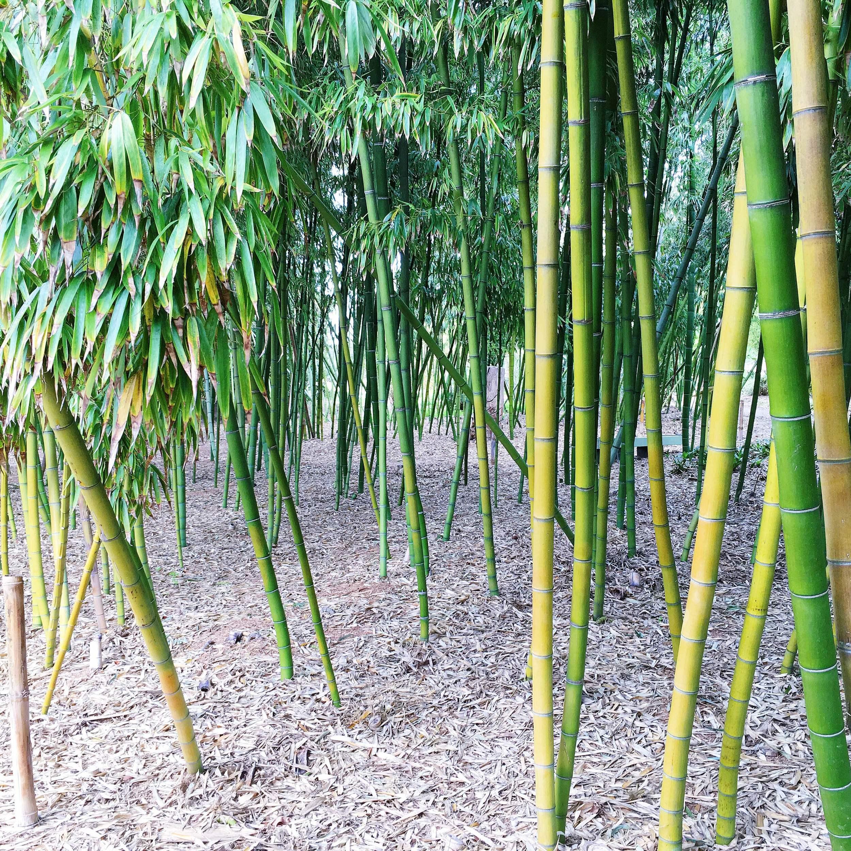 SDBG Bamboo