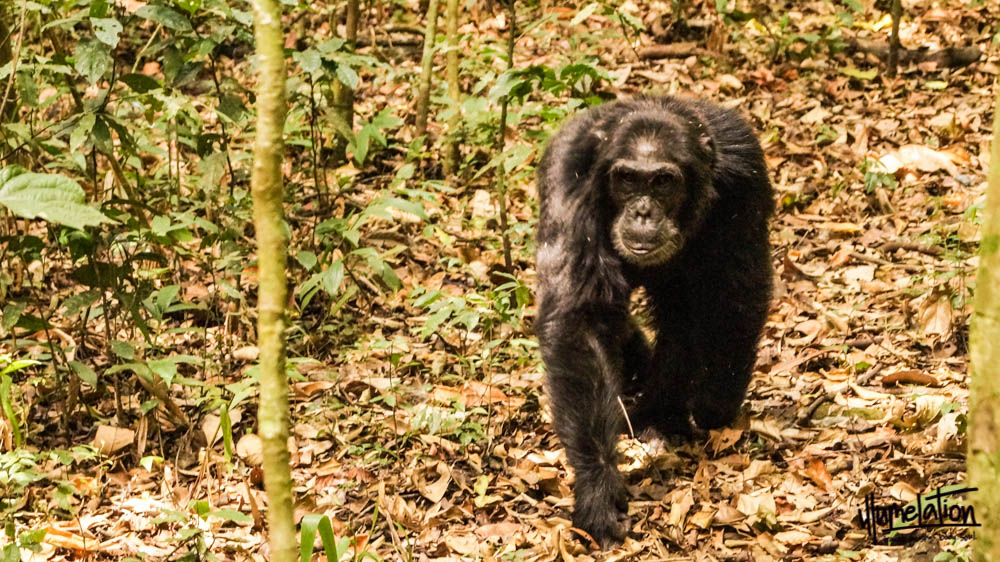 Wild Chimpanzee. Uganda. Kibale National Forest trek. 2015.