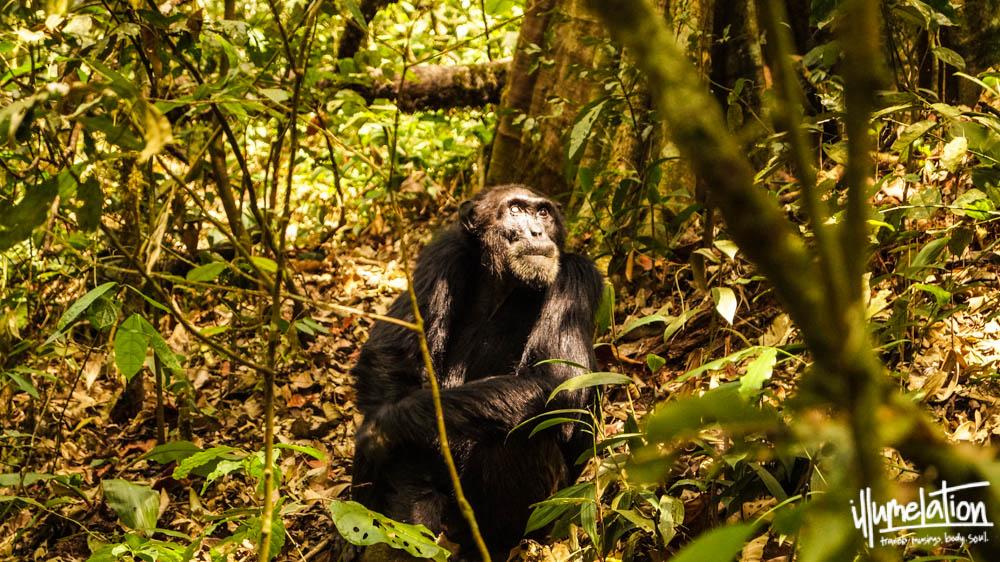 Wild Chimpanzee Trek. Kibale Forest. Uganda. illumelation. 2015.