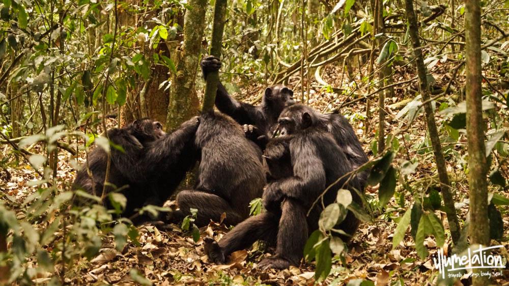 Wild chimpanzee group. Kibale Forest. Uganda. illumelation. 2015.