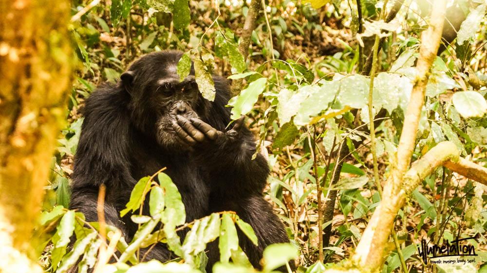 Wild chimpanzee trekking. Kibale Forest, Uganda. 2015.