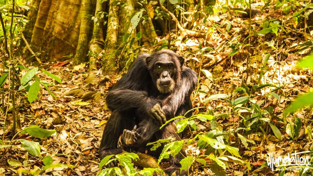 Wild chimpanzee trek. Kibale Forest, Uganda. 2015.