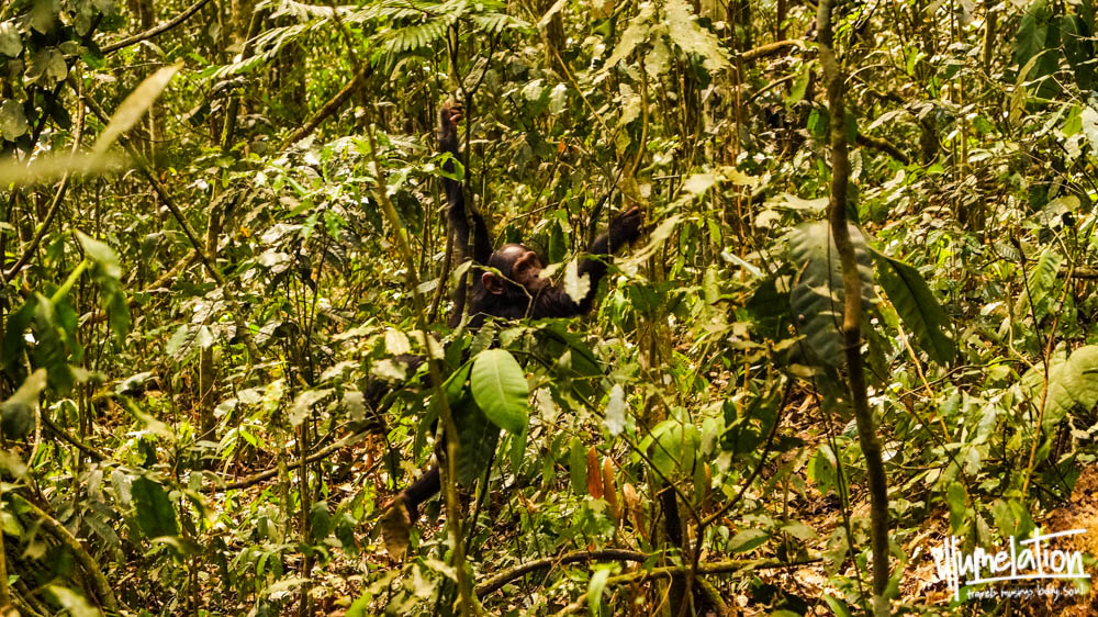 Young chimp swinging through the trees. Kibale Forest Uganda. 2015.