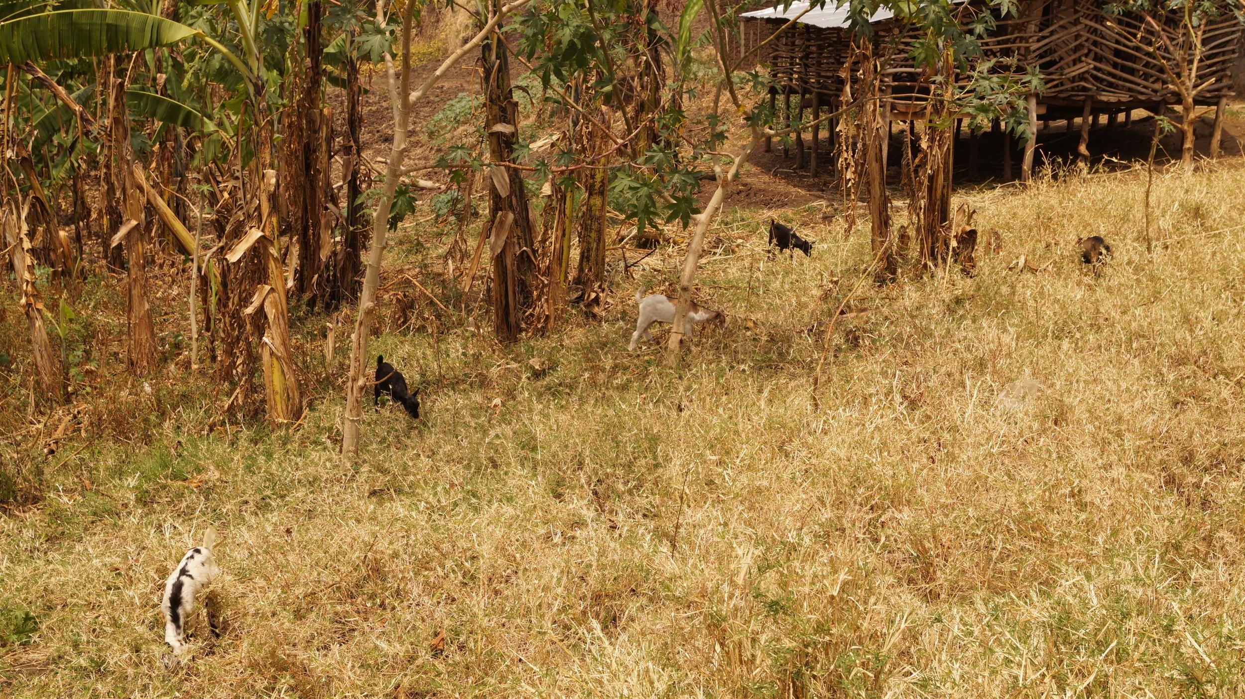 illumelation. baby goats. uganda. top of the world. 2015.
