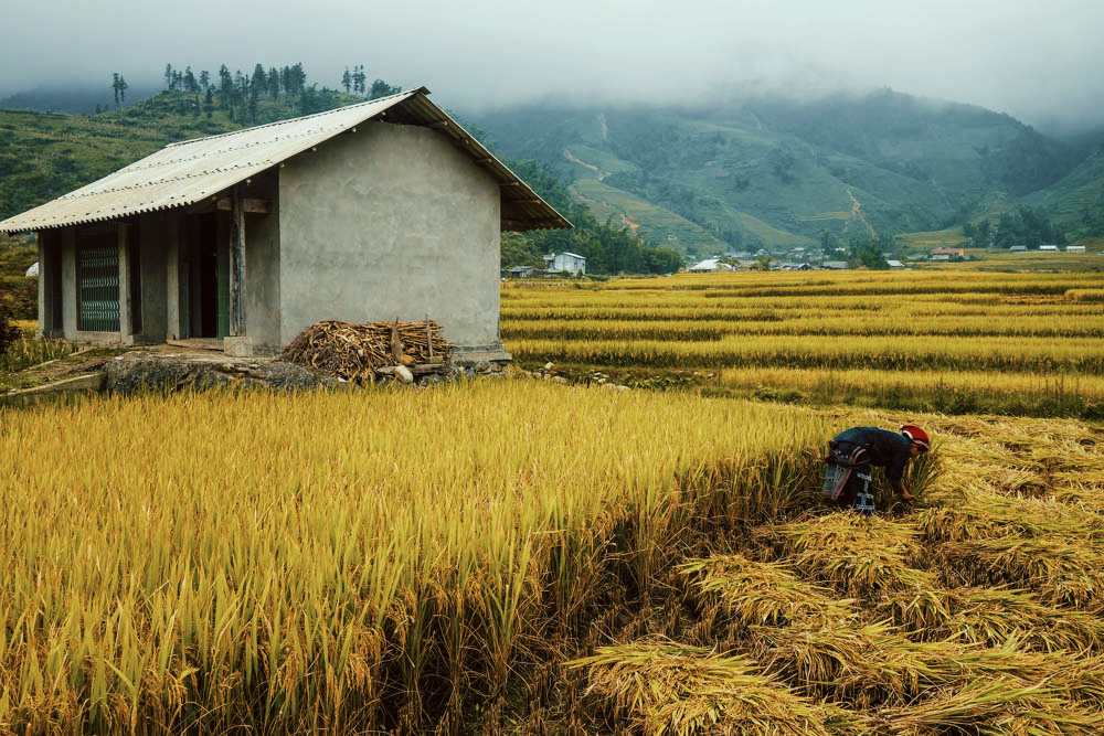 Rice Beating in Sapa, Vietnam | illumelation.com