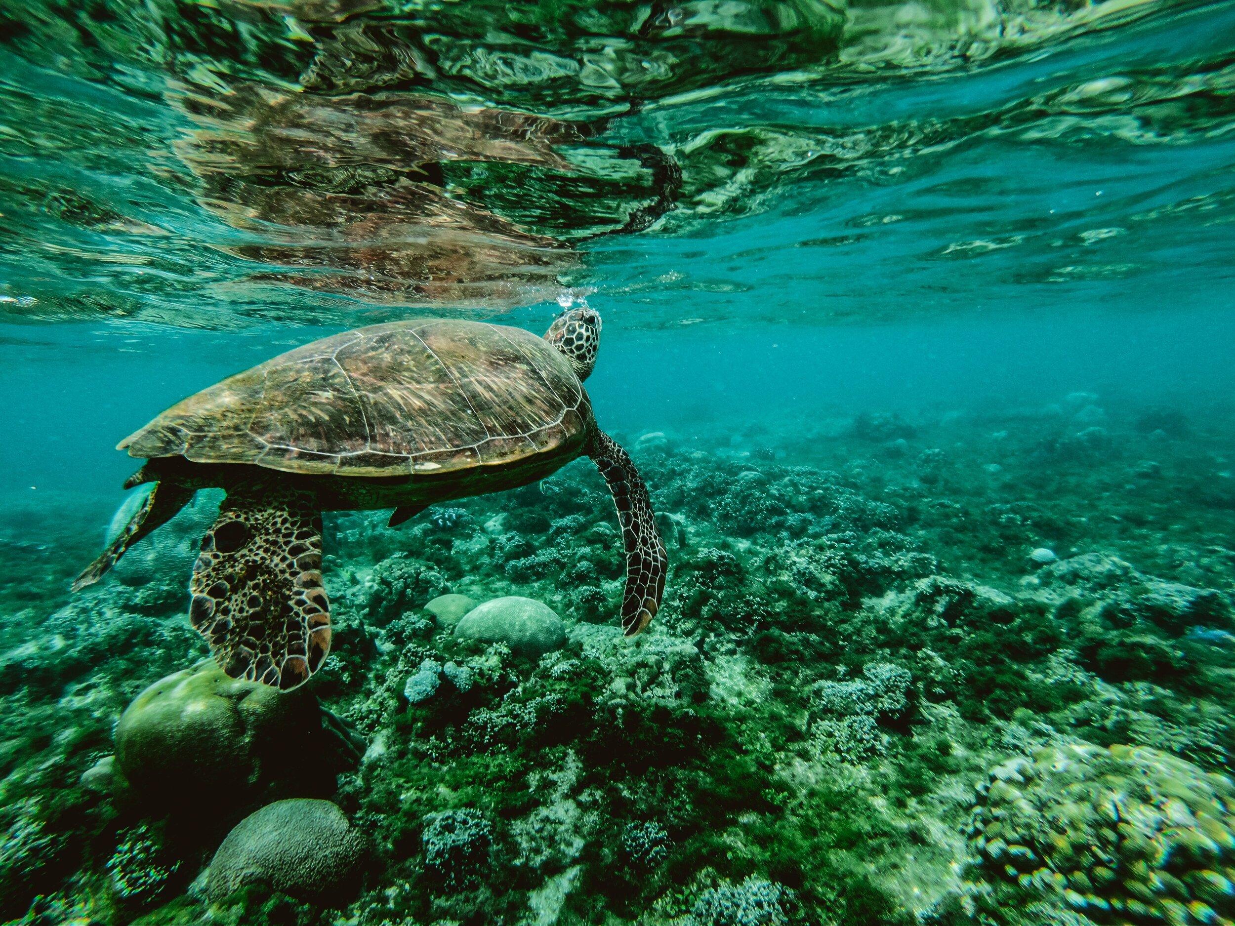 海龟在海底游泳,下面是珊瑚礁
