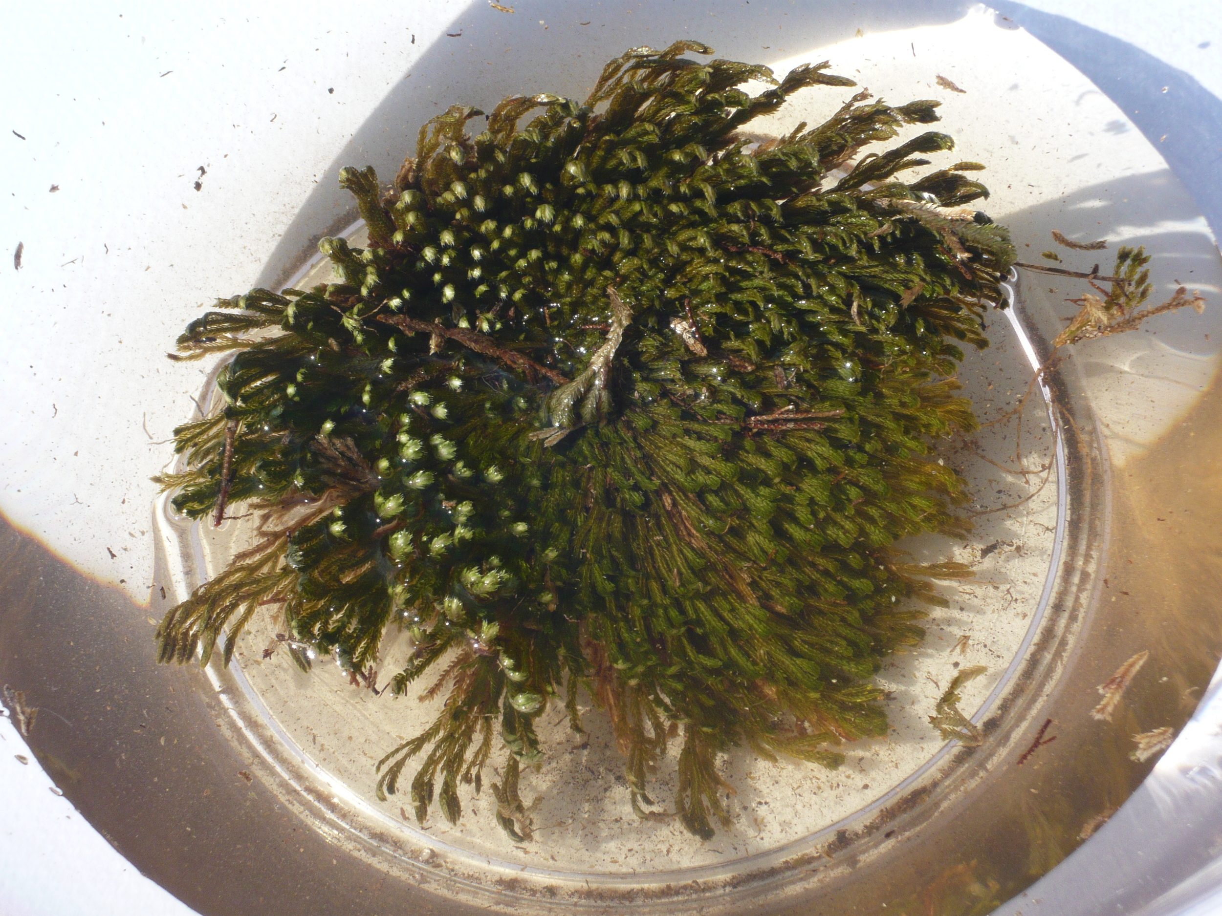 Selaginella lepidophylla Interaction