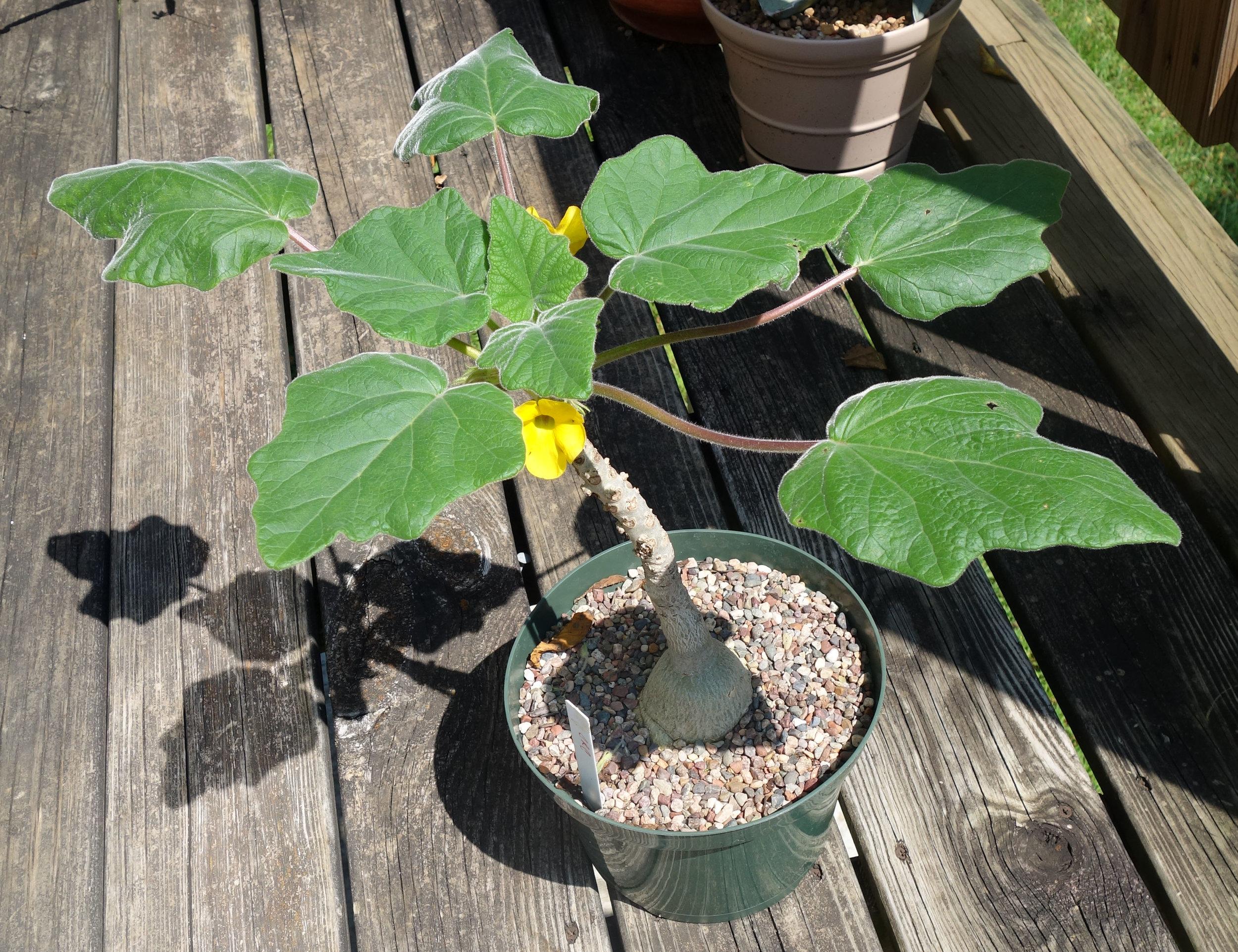 Uncarina roeoesliana flowering A16.jpg