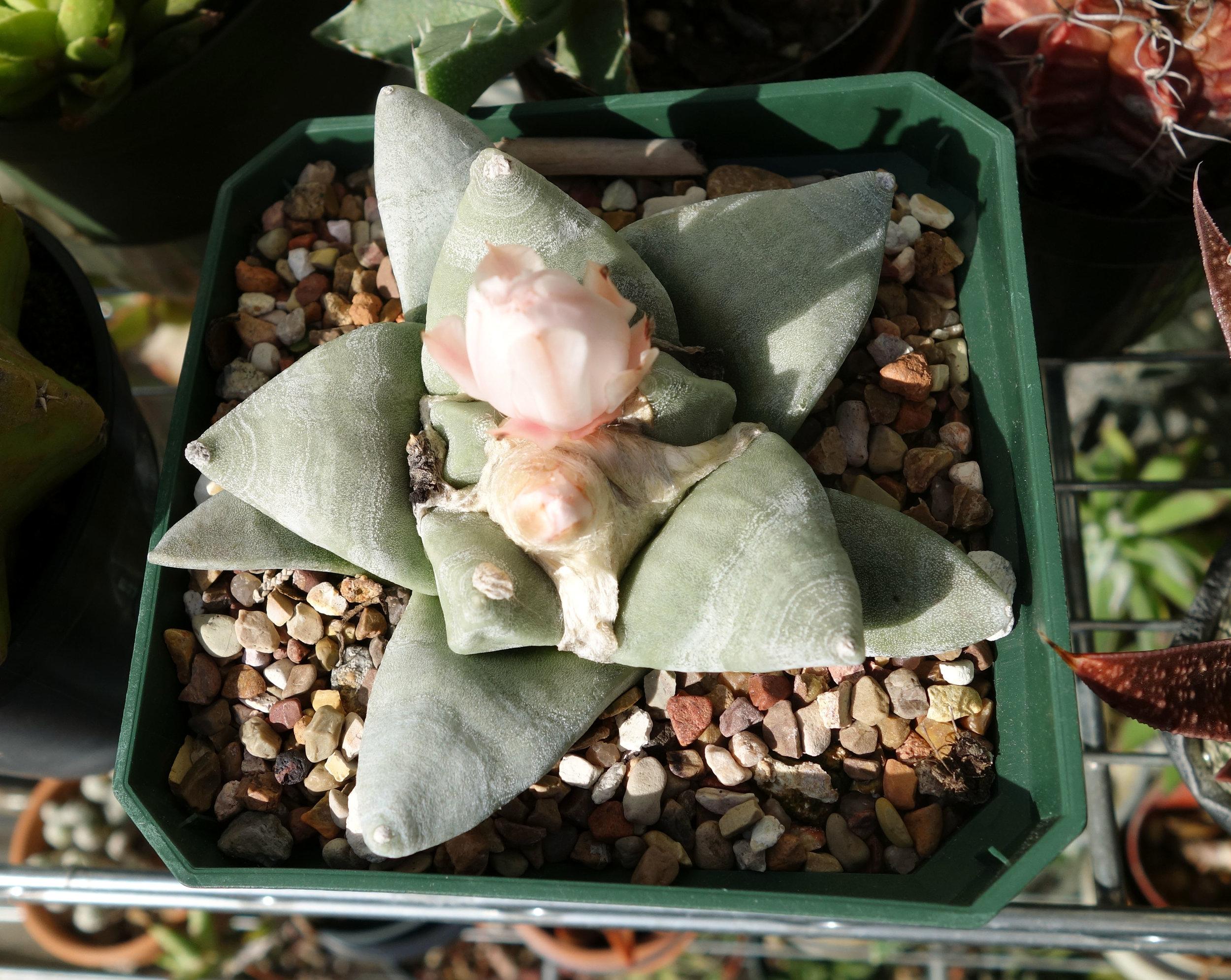 Ariocarpus retusus var furfuraceus Oct16 buds1.jpg