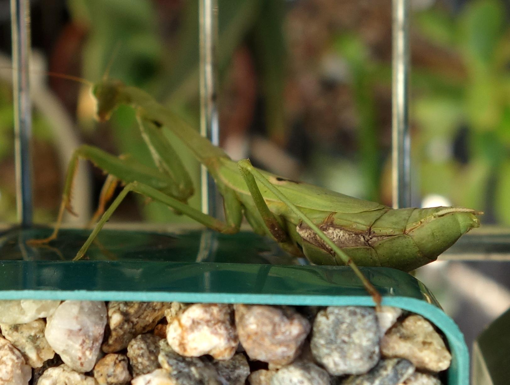 Praying mantis Oct16 back1.jpg