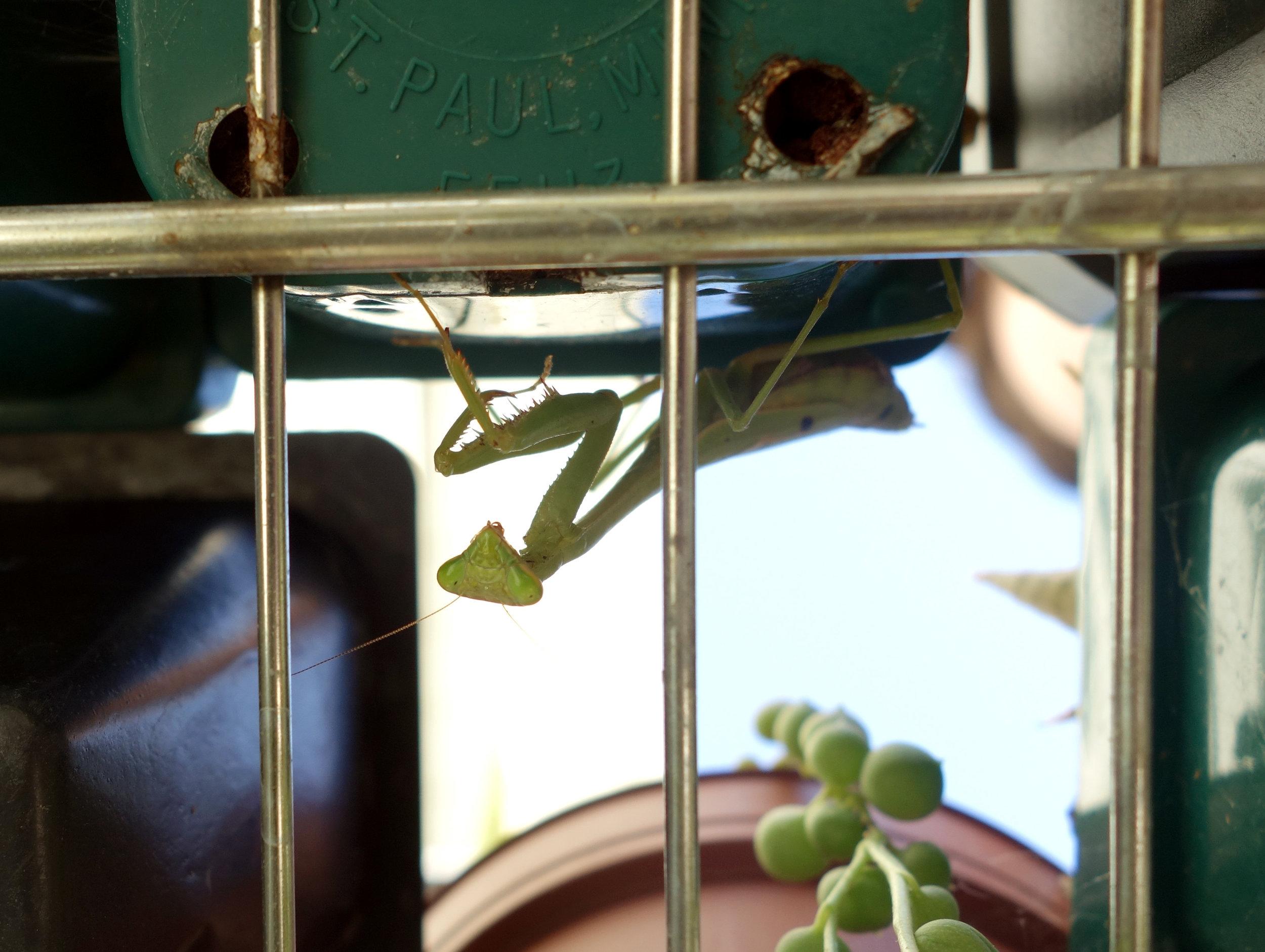 Praying mantis Oct16 headon1.jpg