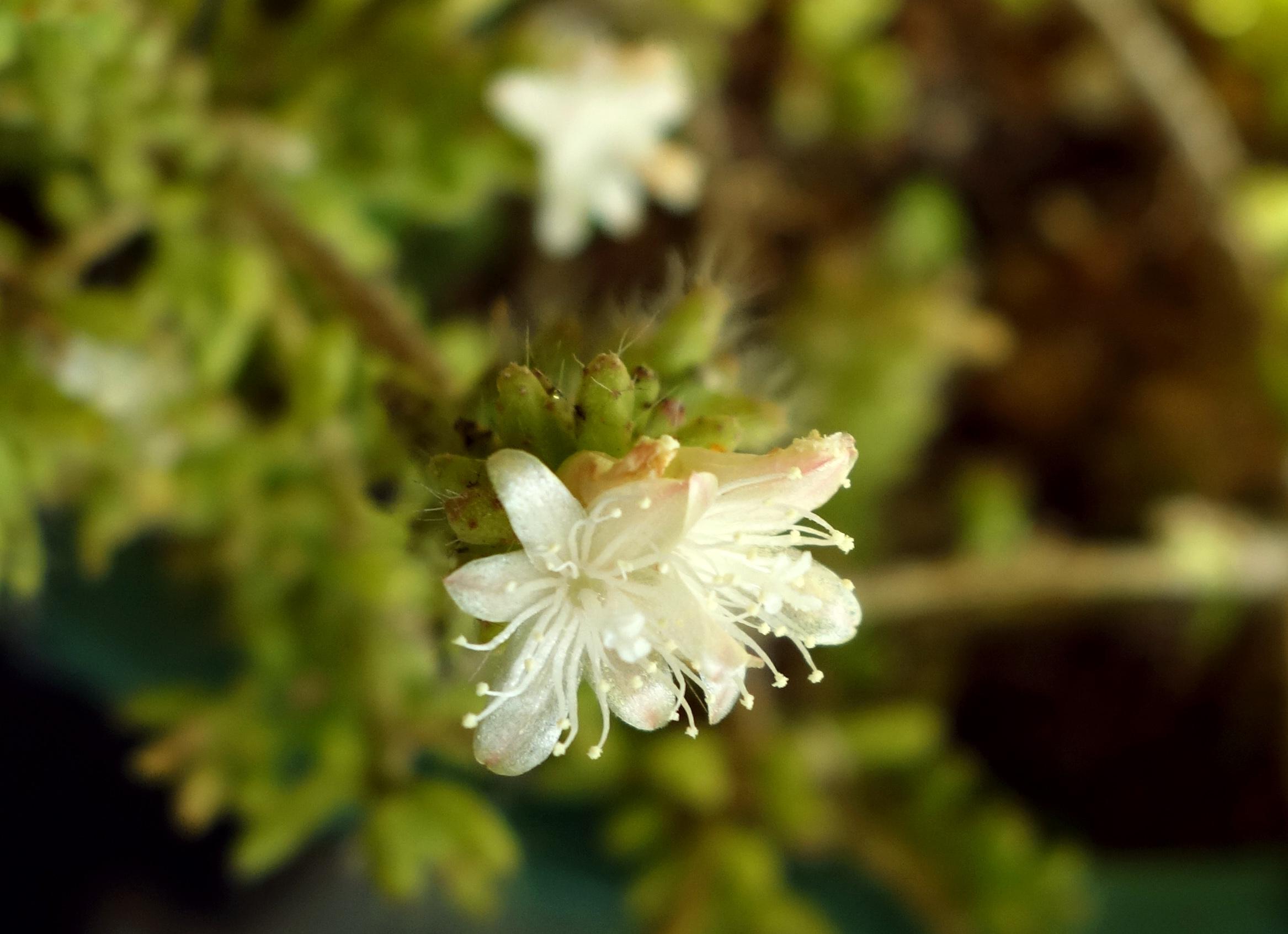 R mesembryanthemoides Dec 16 1.jpg