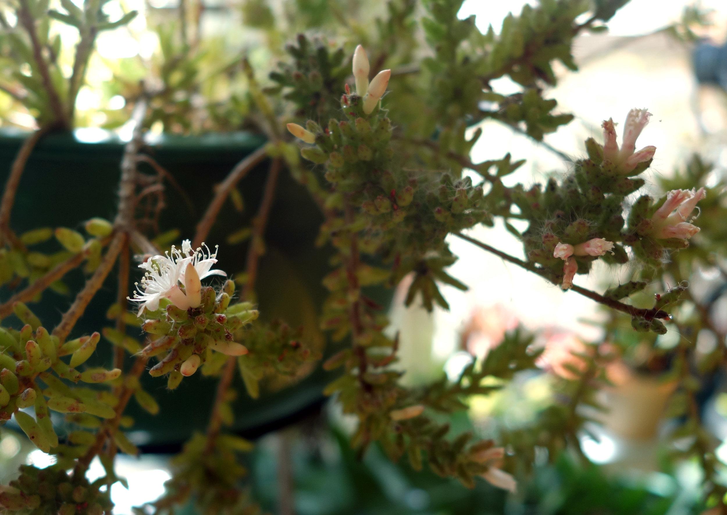 R mesembryanthemoides Dec 16 2.jpg
