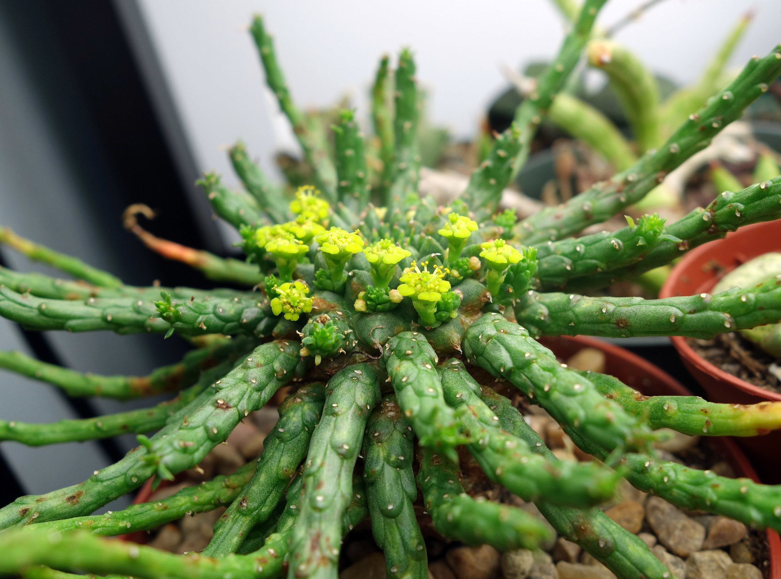 Euphorbia medusae Dec16 flowering.jpg