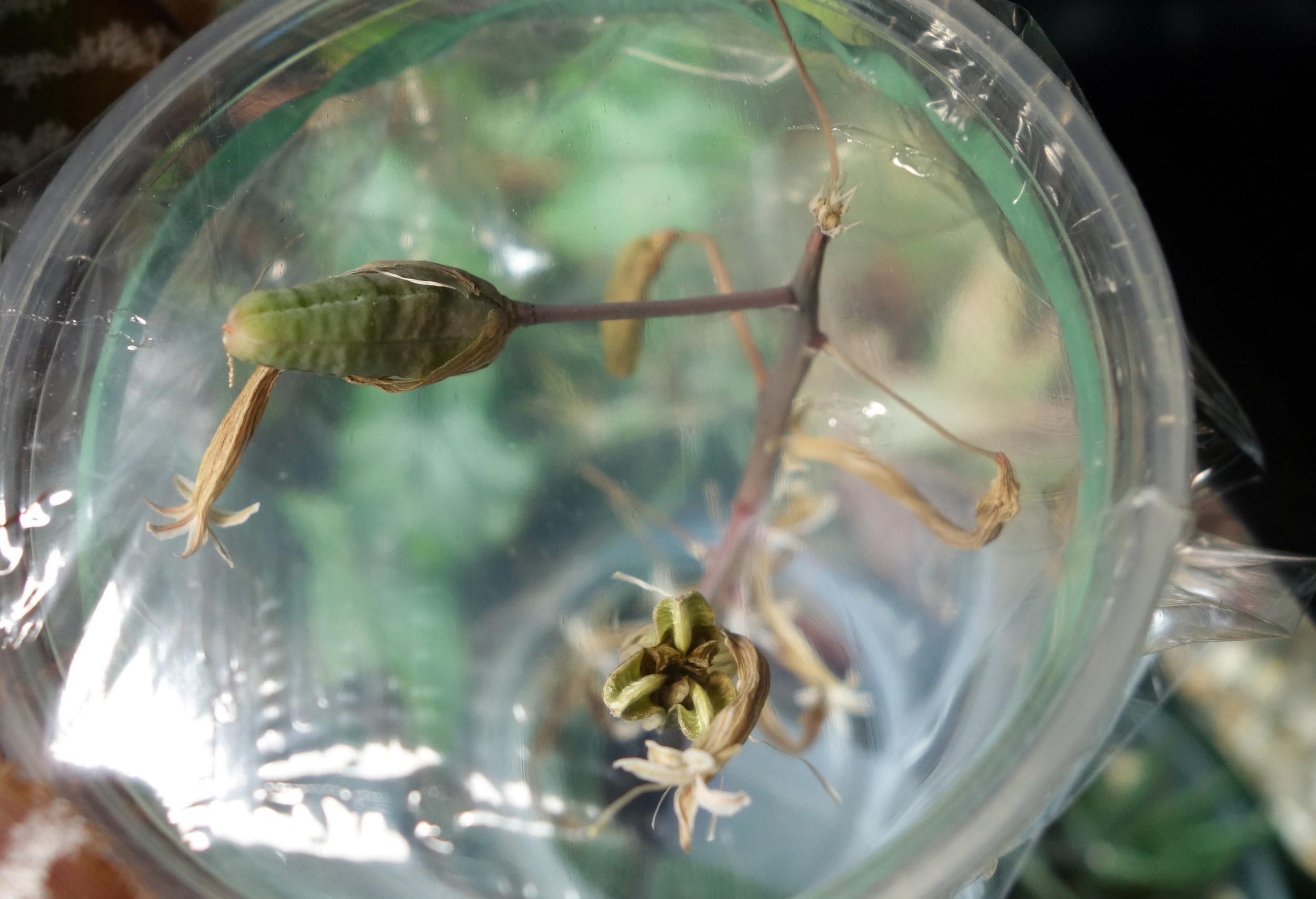Aloe aristata seed pods exploded.jpg