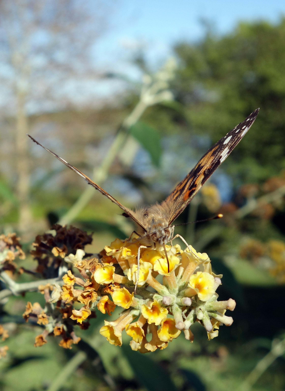 Schlagle butterfly 1.jpg