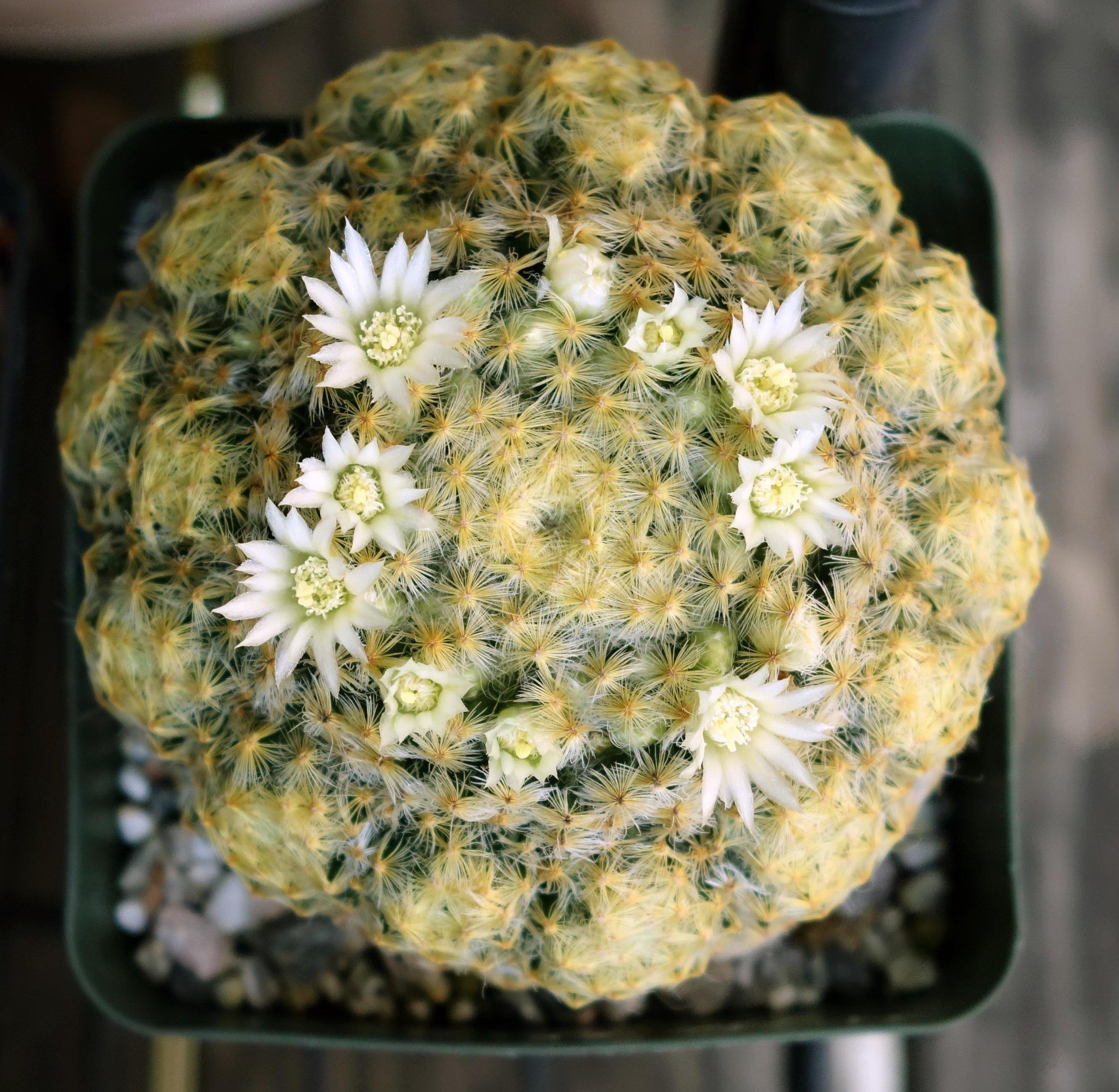 M schiedeana 9-22-17 blooms.jpg