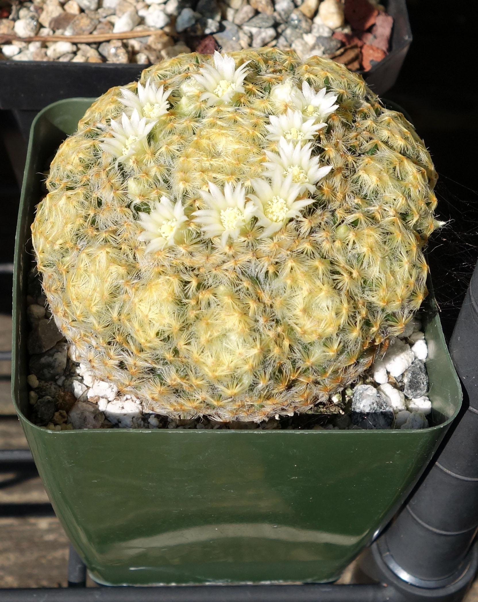 M schiedeana 9-24-17 blooms.jpg