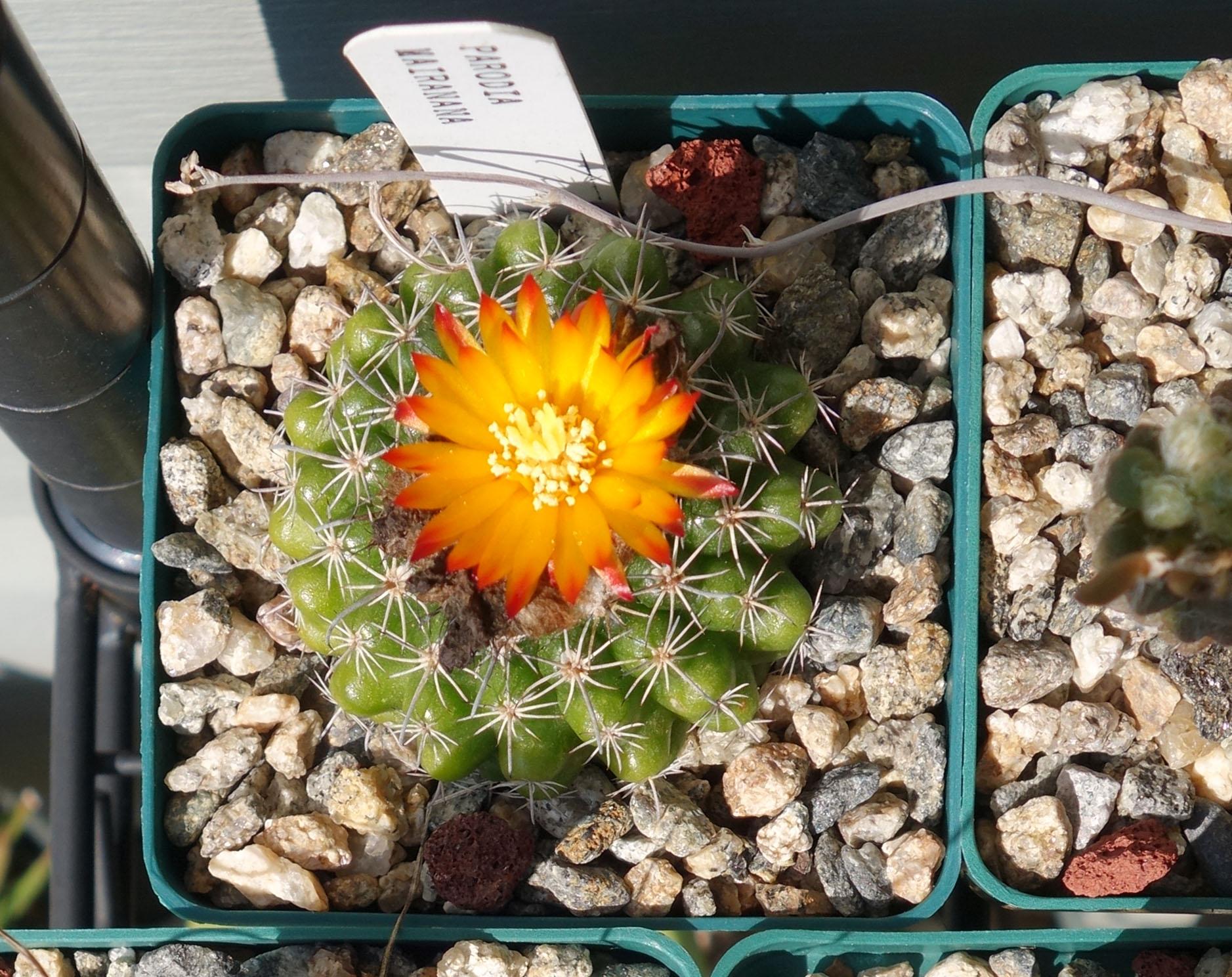 P mairanana 9-24-17 bloom.jpg