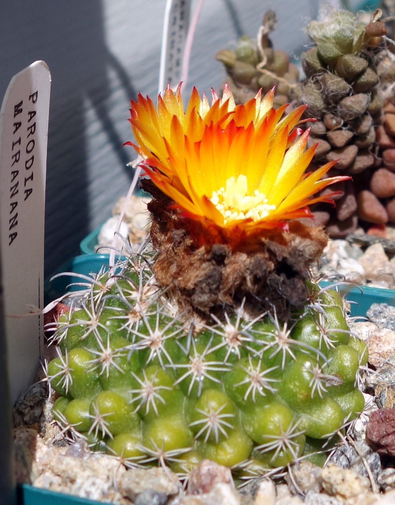 P mairanana 9-30-17 blooms.jpg