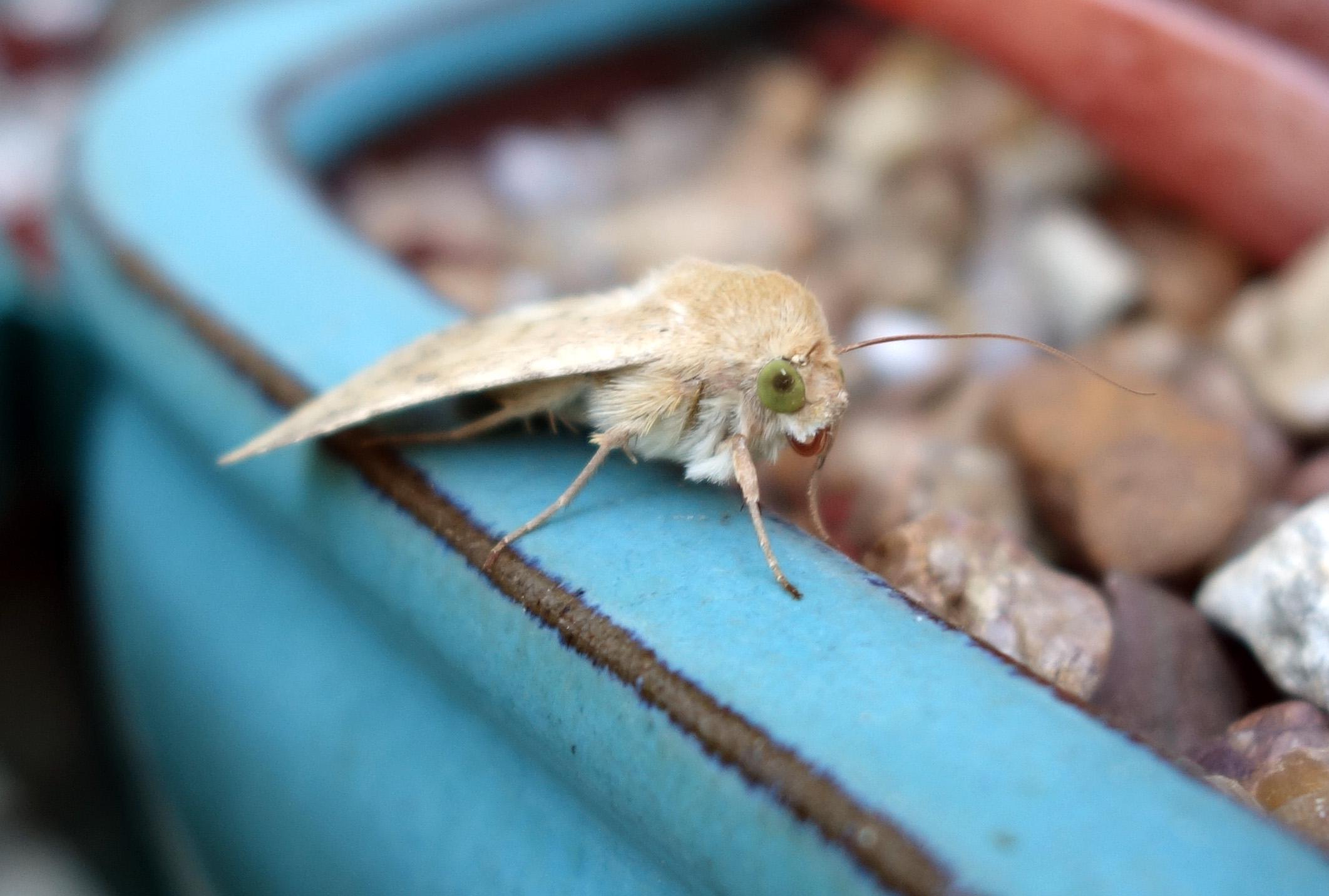 tan moth 9-28-17 1.jpg
