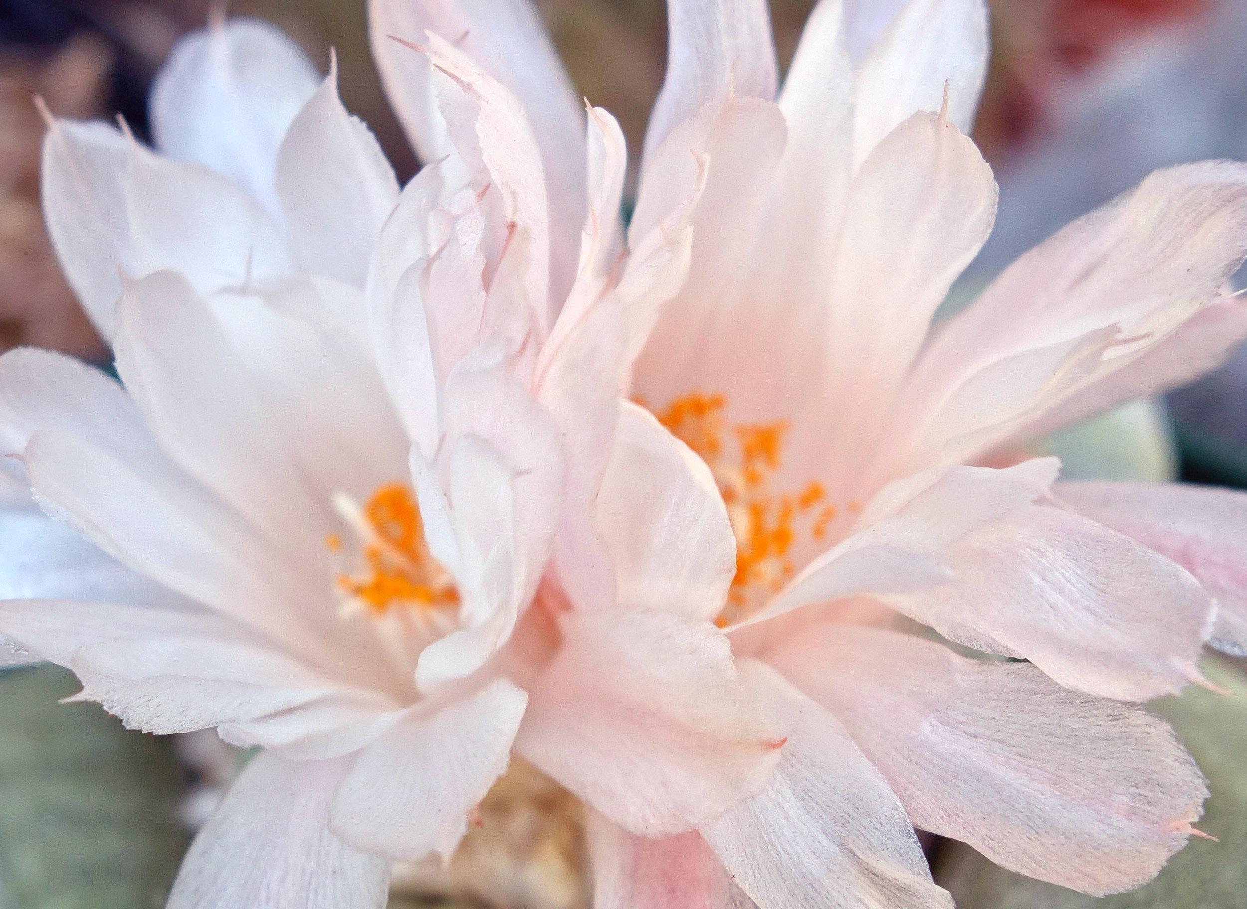 A retusus 9-22-17 blooms zoomed.jpg