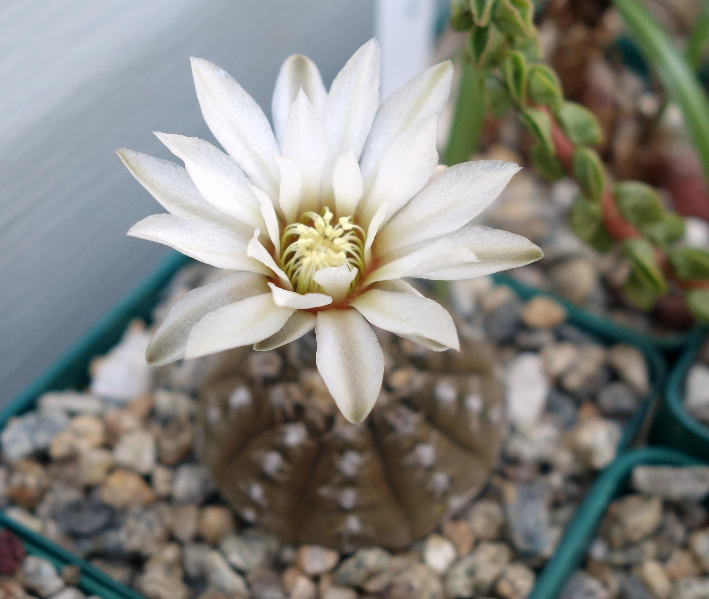 G ragonesei 9-22-17 bloom.jpg