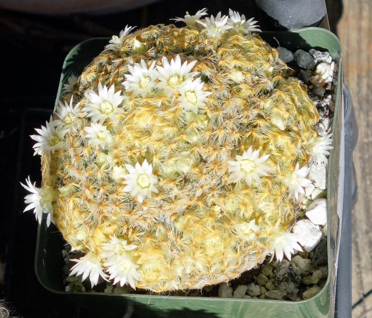 M schiedeana 10-19-17 blooms.jpg