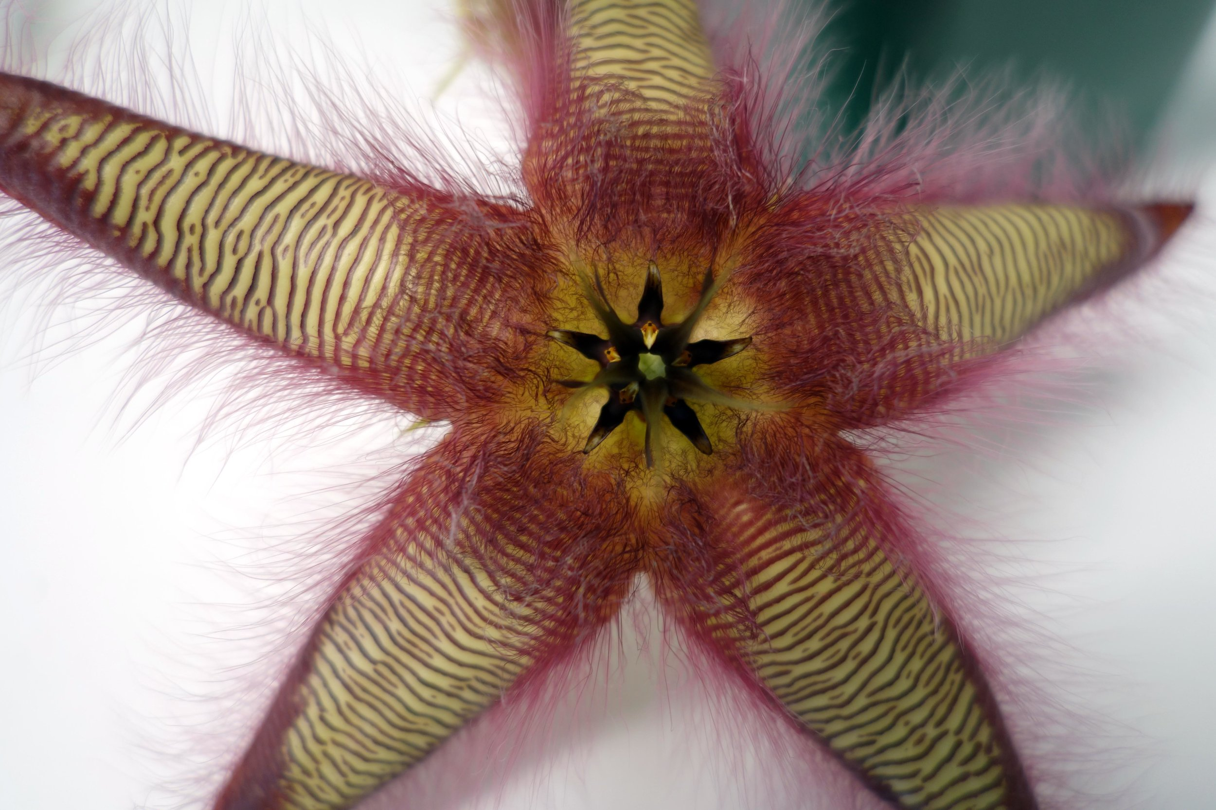 Stapelia gettleffii flower zoom 10-31-17.jpg