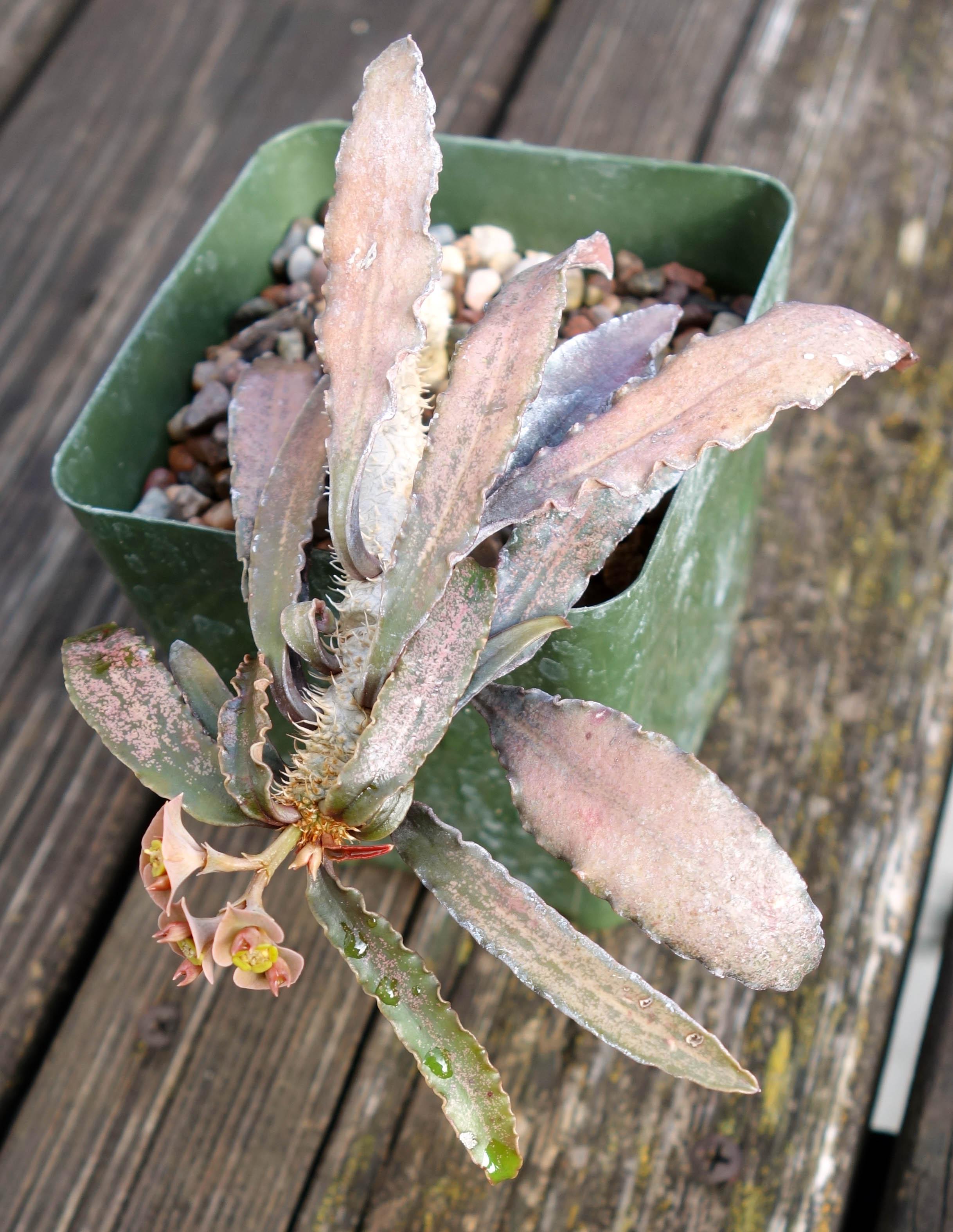 Euphorbia francoisii 10-22-17 front.jpg