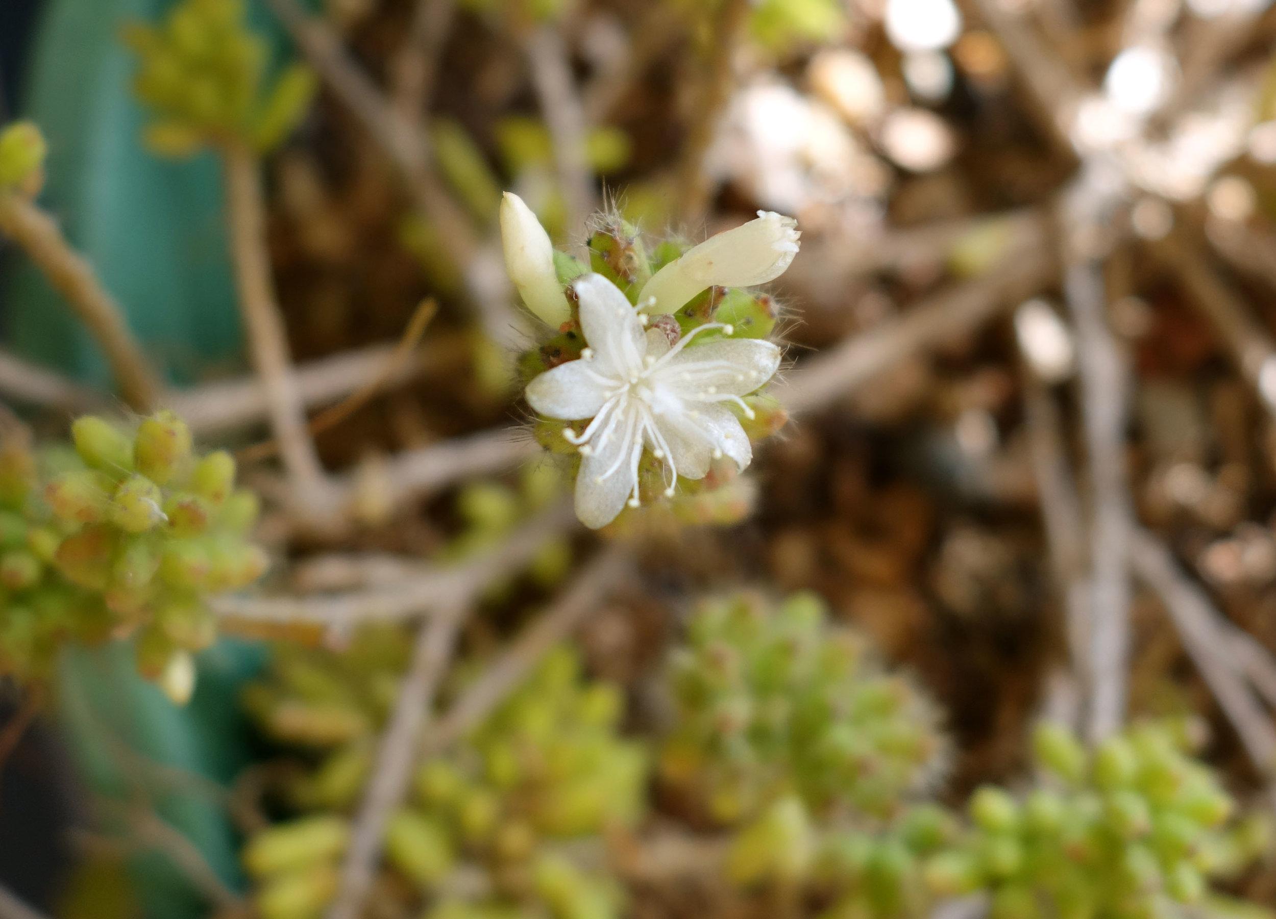 Rhipsalis mesembryanthemoides flower 11-16-17.jpg