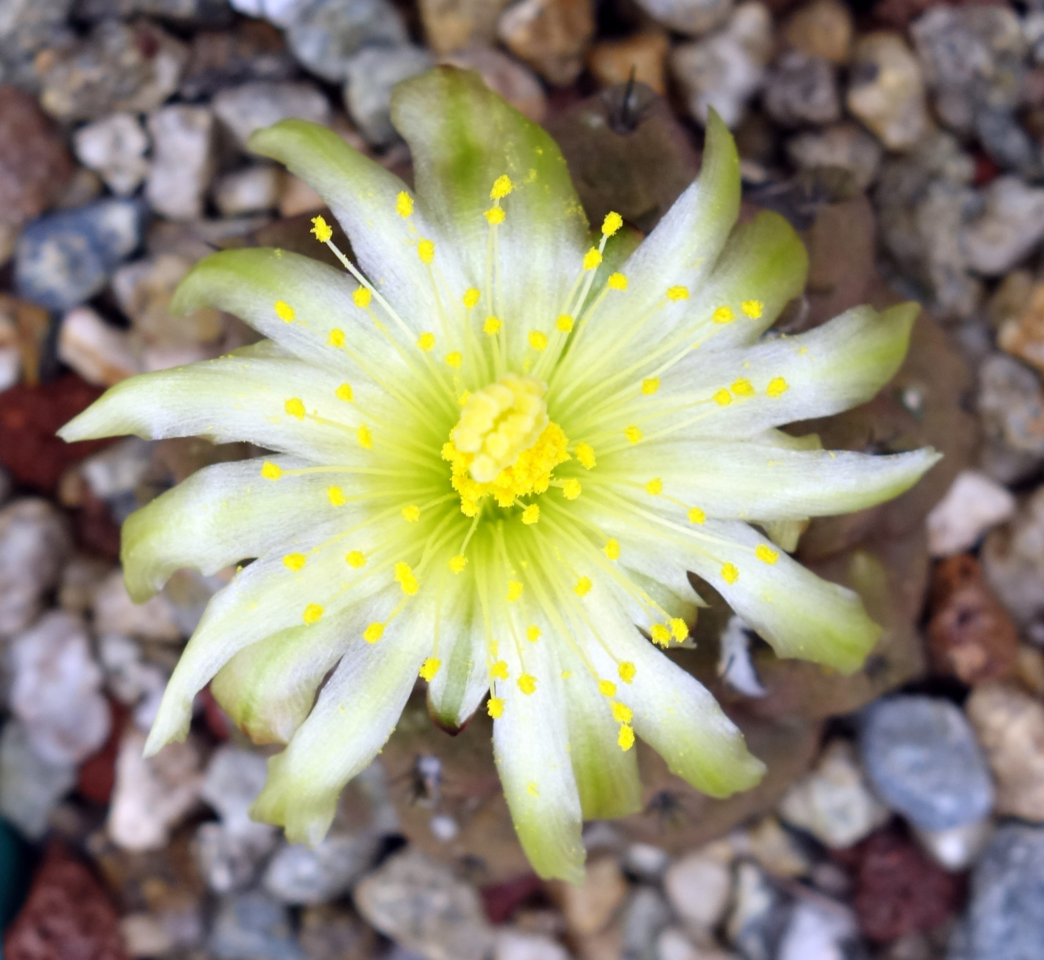 Copiapoa hypogaea flower 12-19-17.jpg