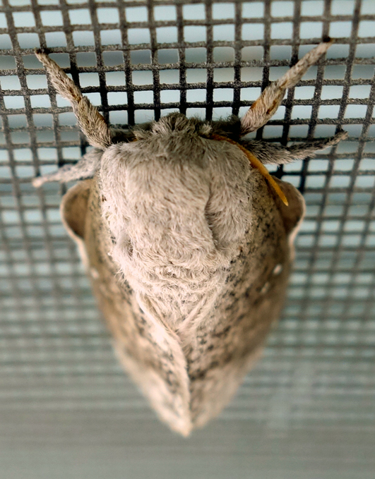 honey locust moth or bisected hlm 3c.jpg