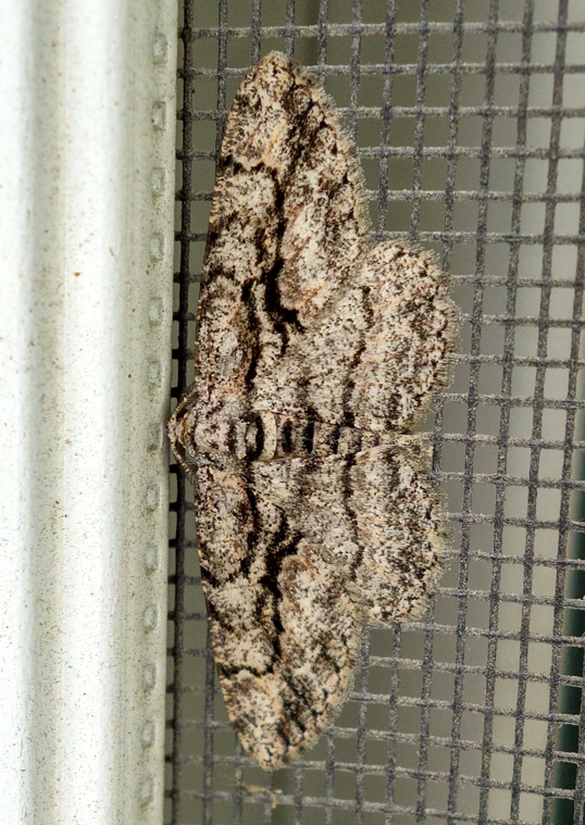 Common gray moth Anavitrinella pampinaria 1c.jpg