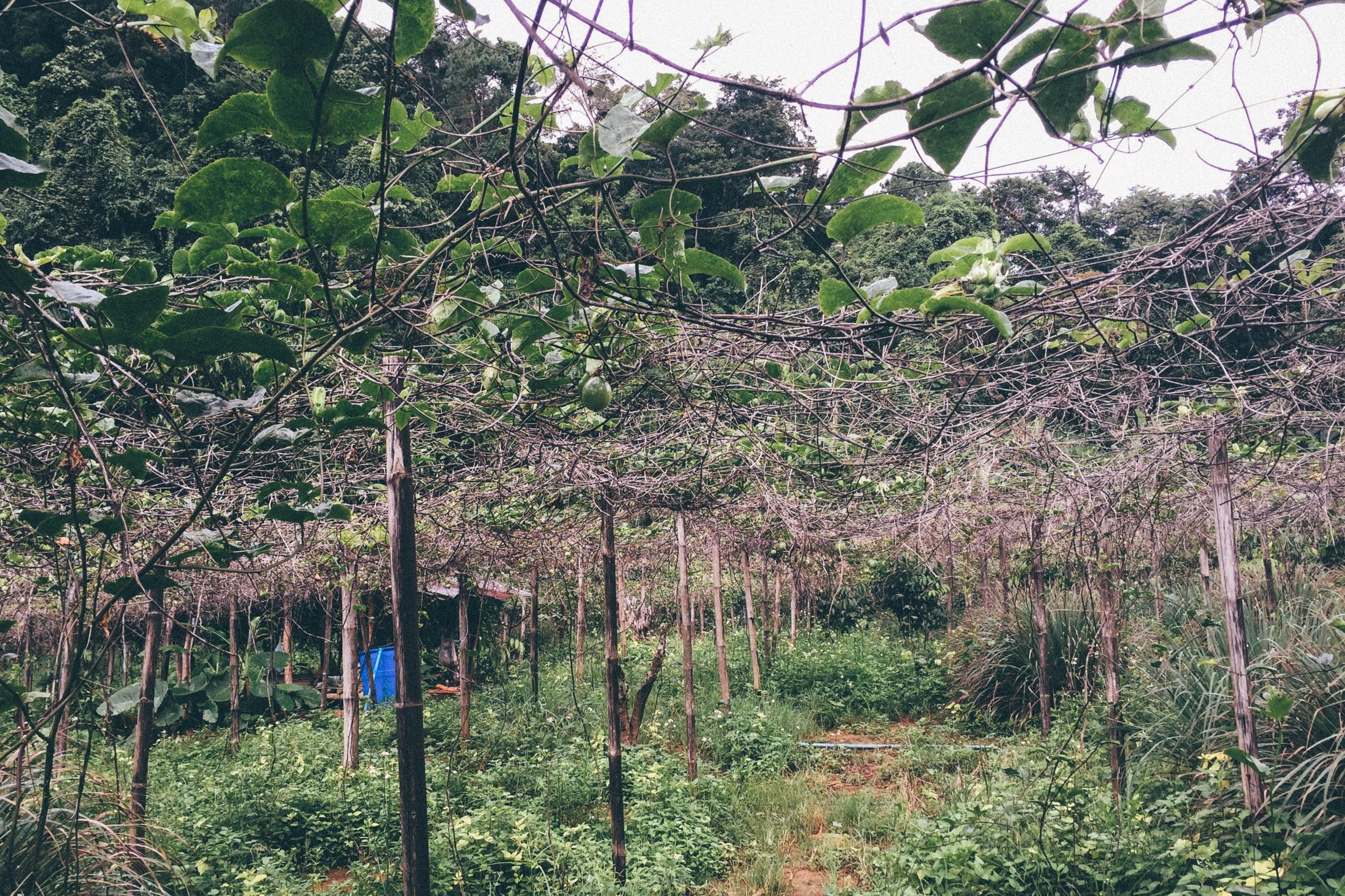 A passionfruit plantation