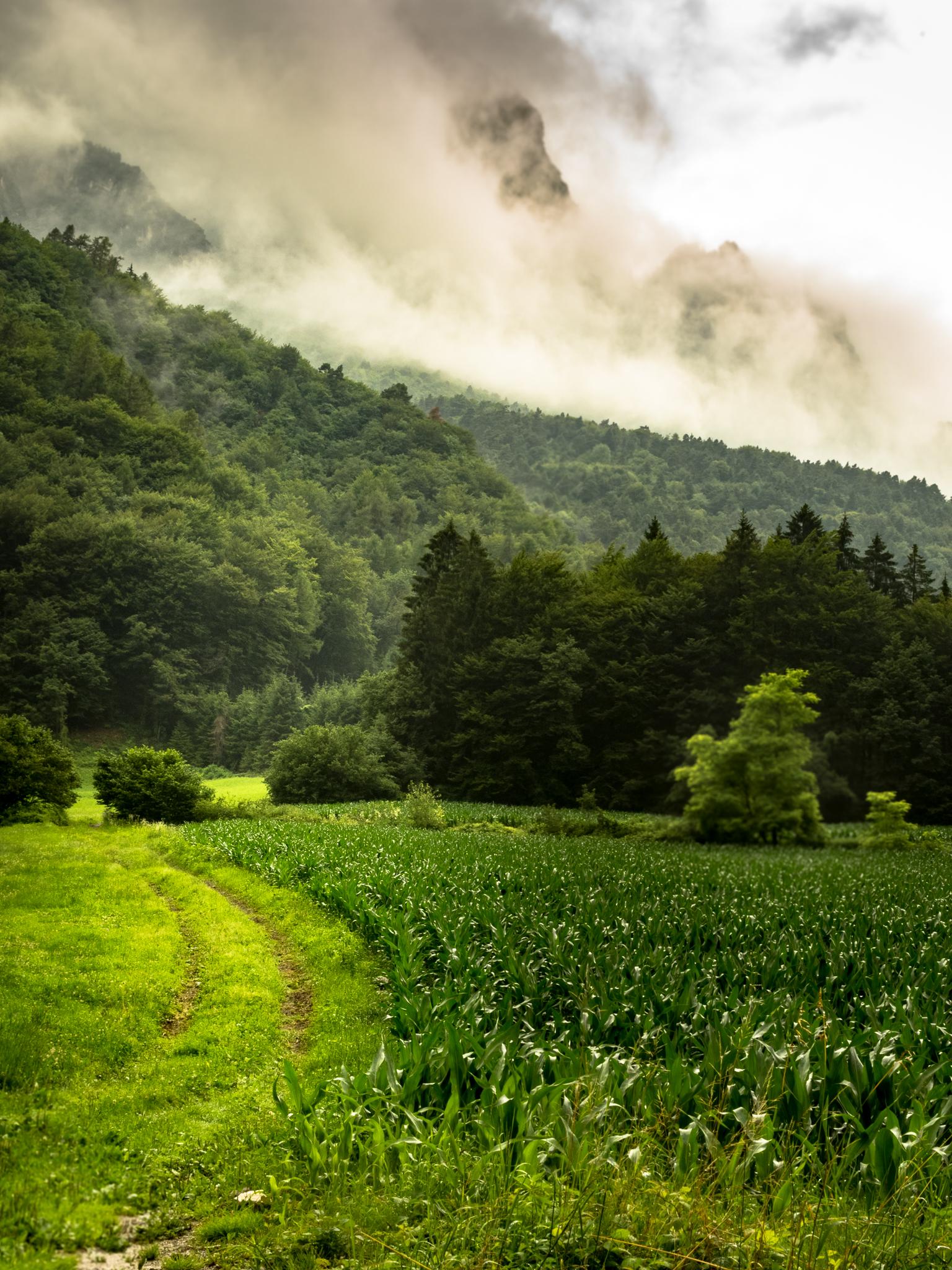 cornfield trentino.jpg