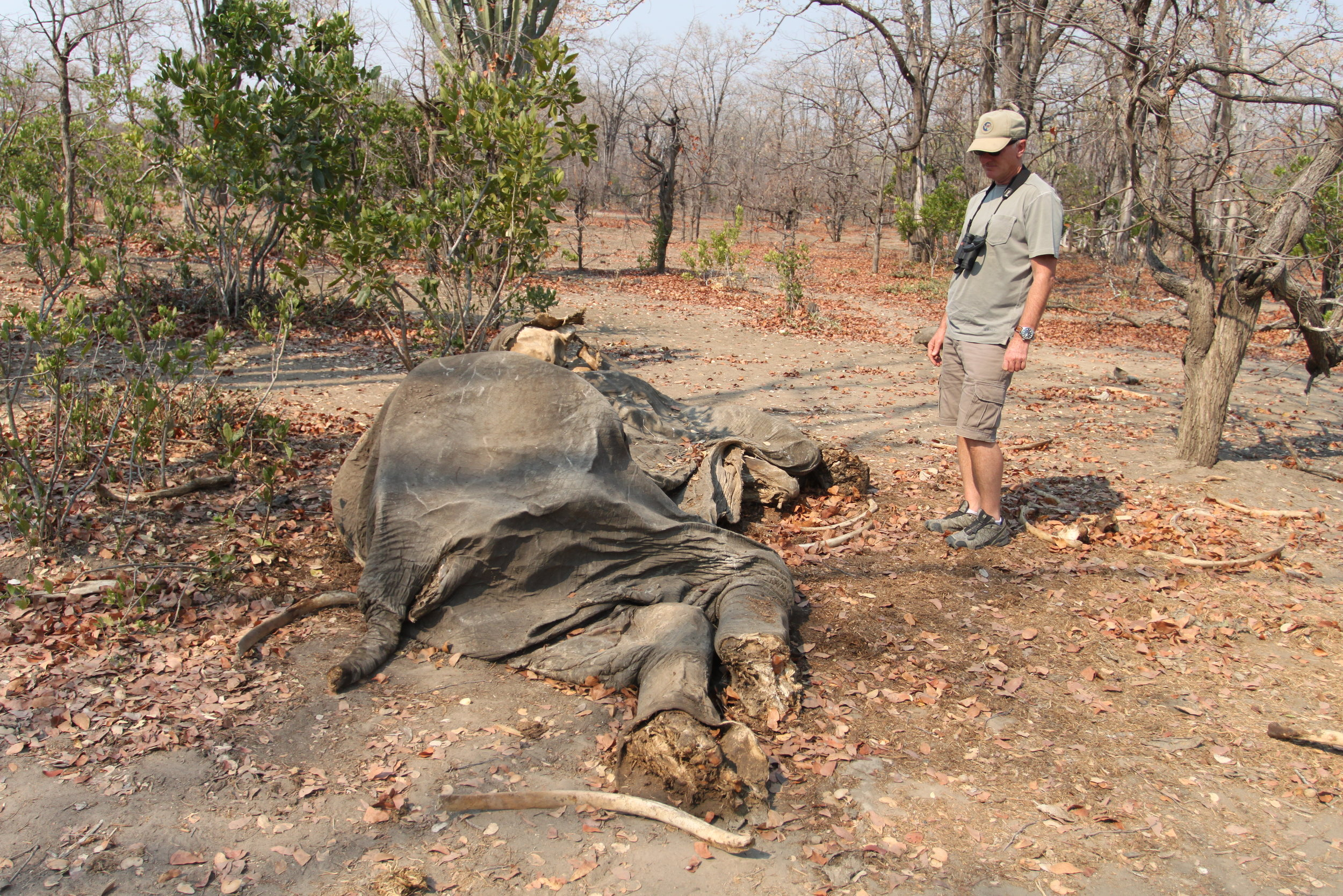 Otto Werdmuller Von Elgg, co-founder of UDS, inspects the remains of an elephant poached in Liwonde National Park.
