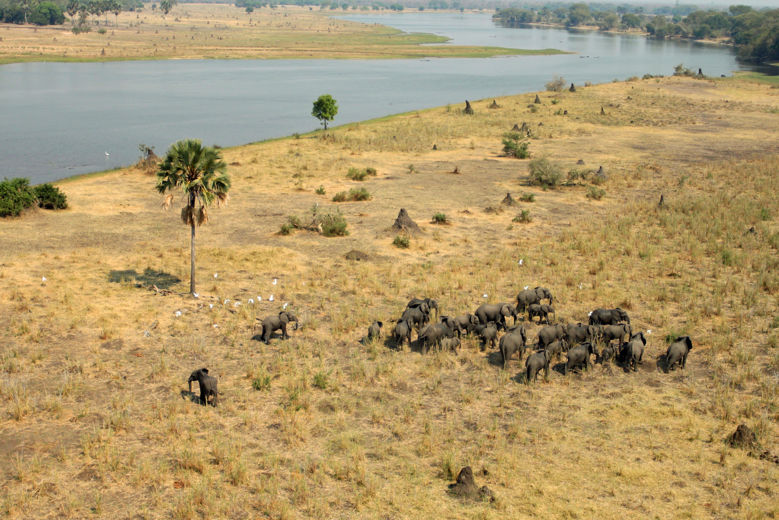 Elephants gather around the Shire River during the dry season at Liwonde National Park.