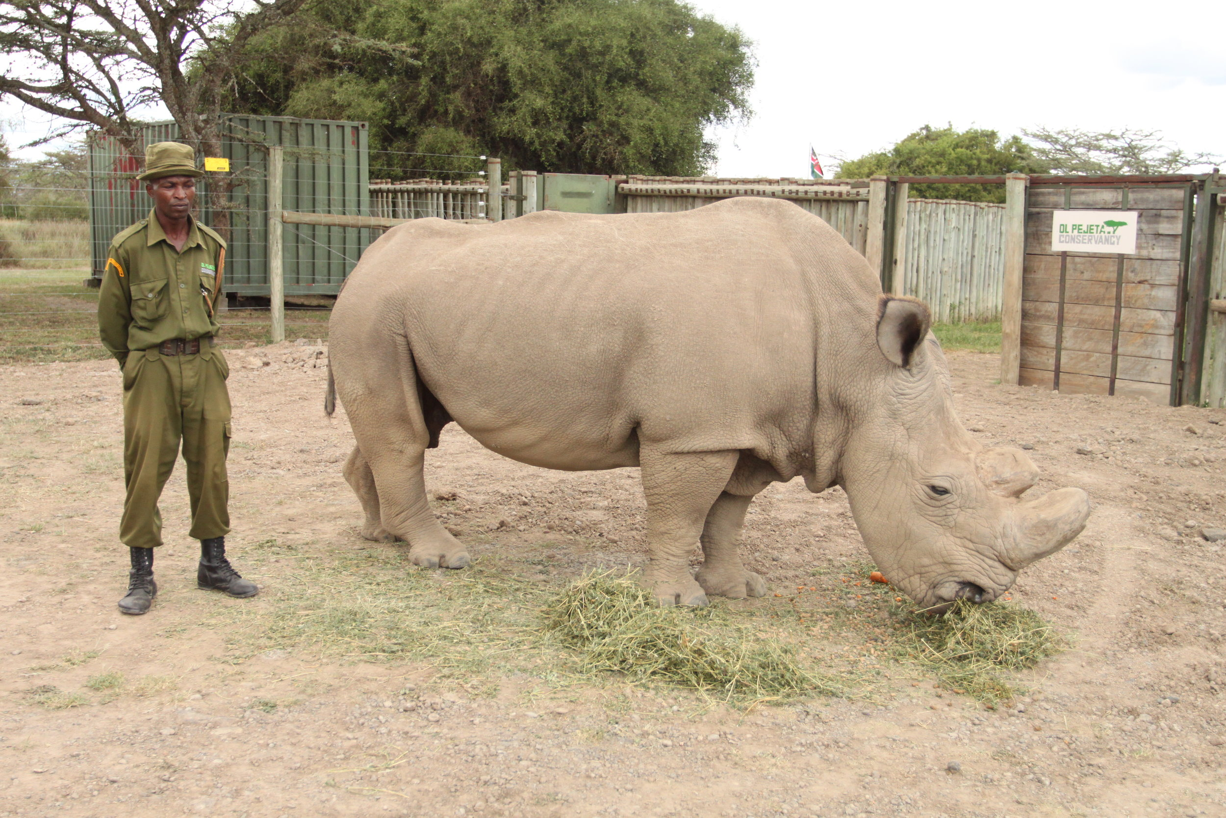 Sudan, the world's last male northern white rhino, at his final home at Ol Pejeta Conservancy in Kenya.