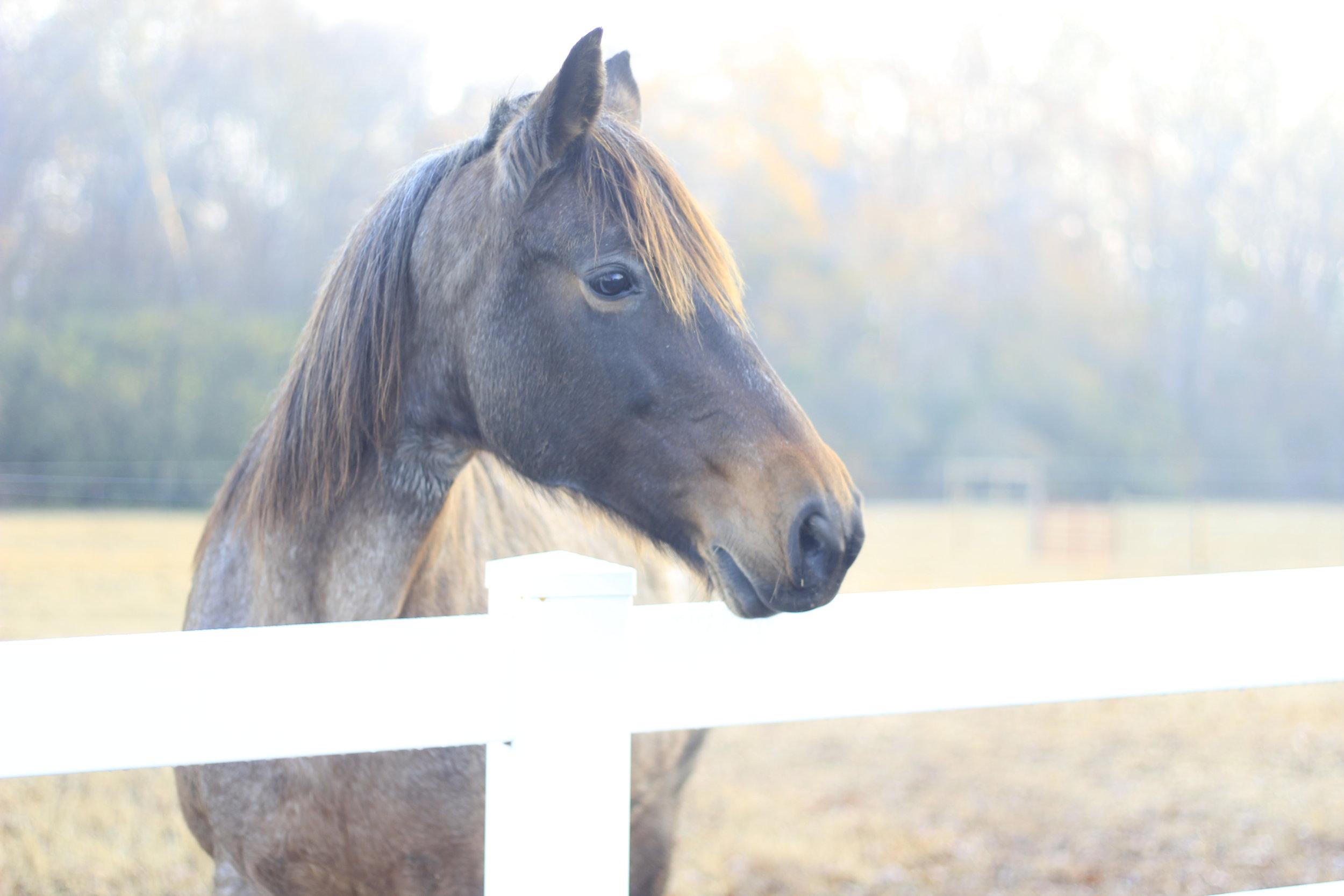 Tennesee Walking Horse