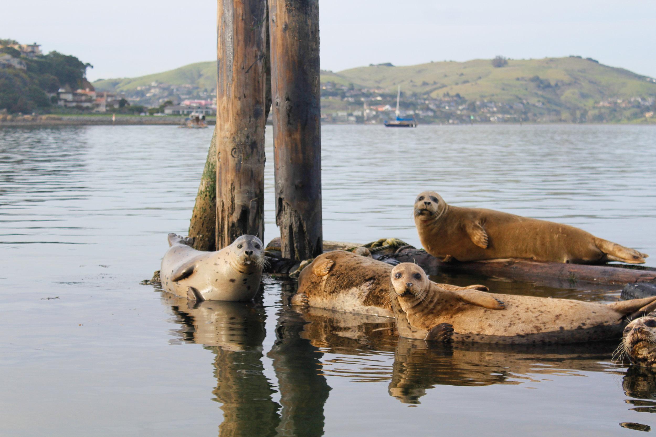Seals! In San Francisco Bay.