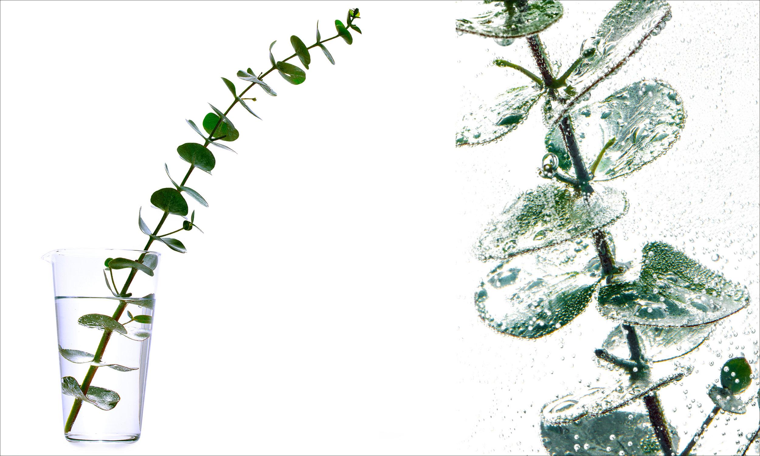 Eucalyptus_2.jpg