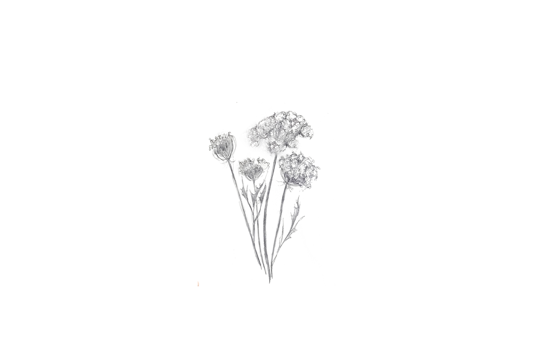Queen Anne Lace MZ.png