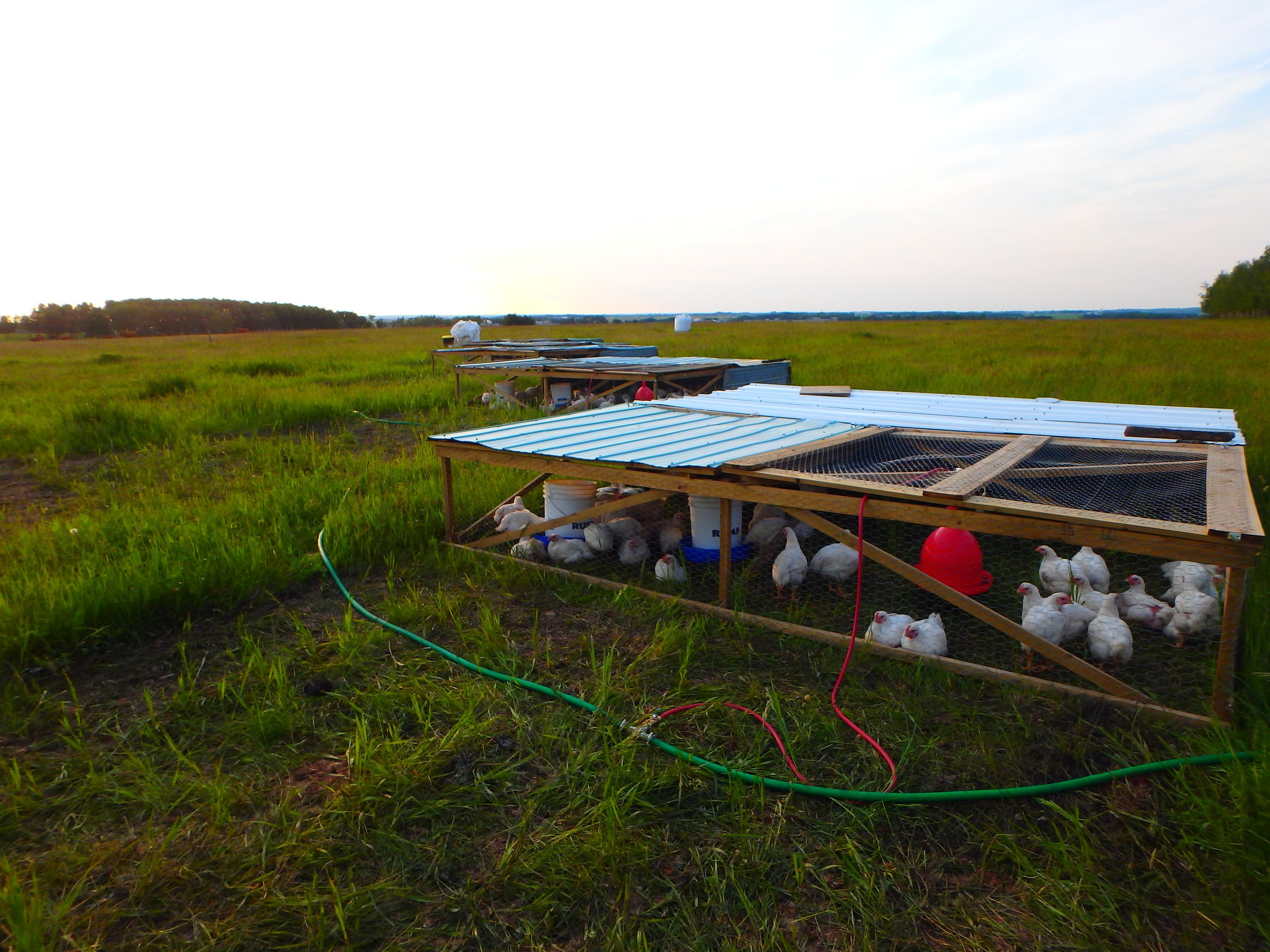 Moving the pens daily keeps them clean and offers the chickens a fresh piece of pasture!