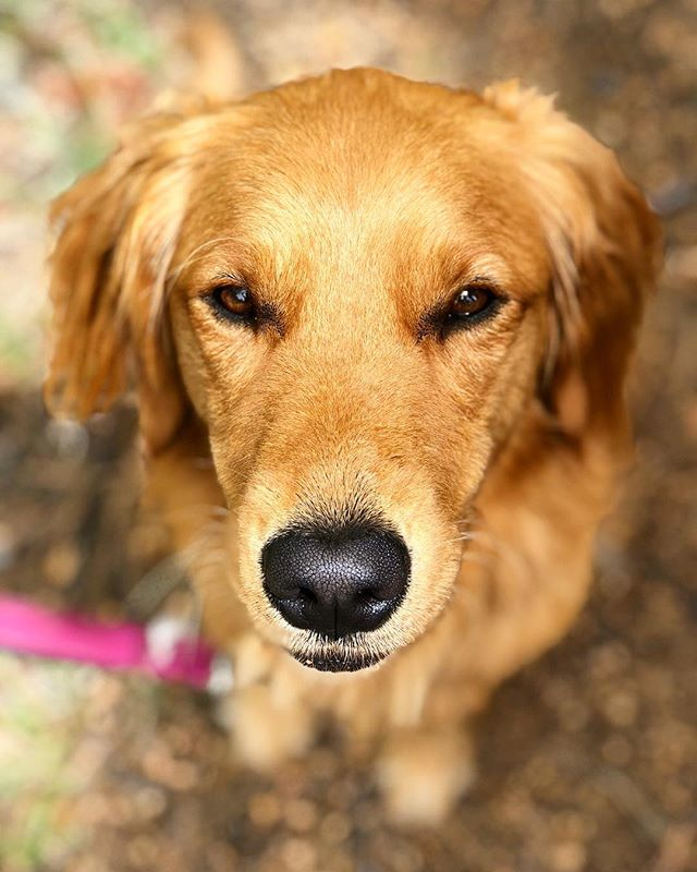 """Throw the ball for real this time, or no kisses for a month""- Maple, probably. . . . . . #goldenretriever #retrieverpuppy #goldensofinstagram #puppy"